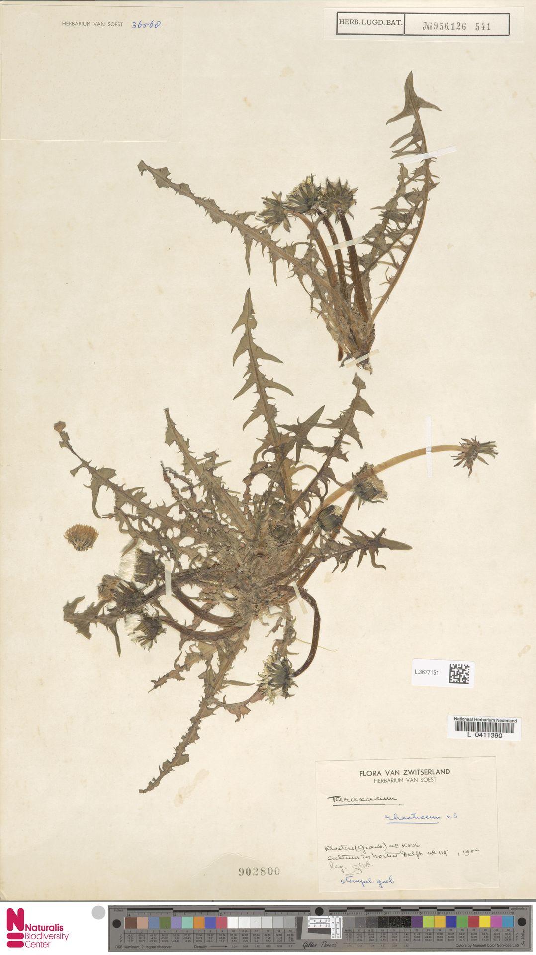 L.3677151 | Taraxacum rhaeticum Soest