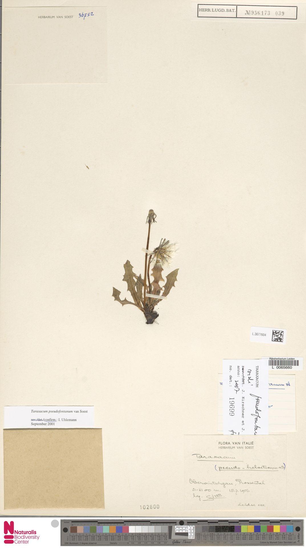 L.3677604   Taraxacum pseudofontanum Soest