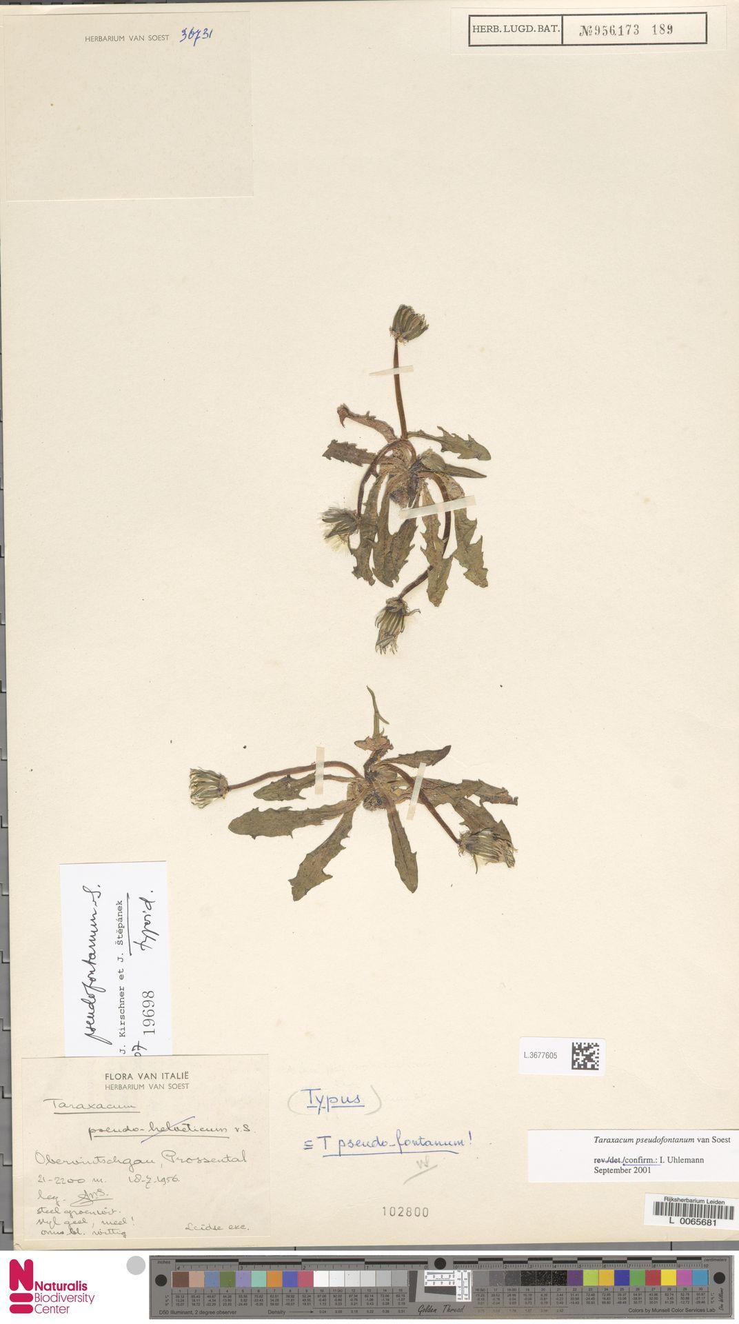 L.3677605   Taraxacum pseudofontanum Soest