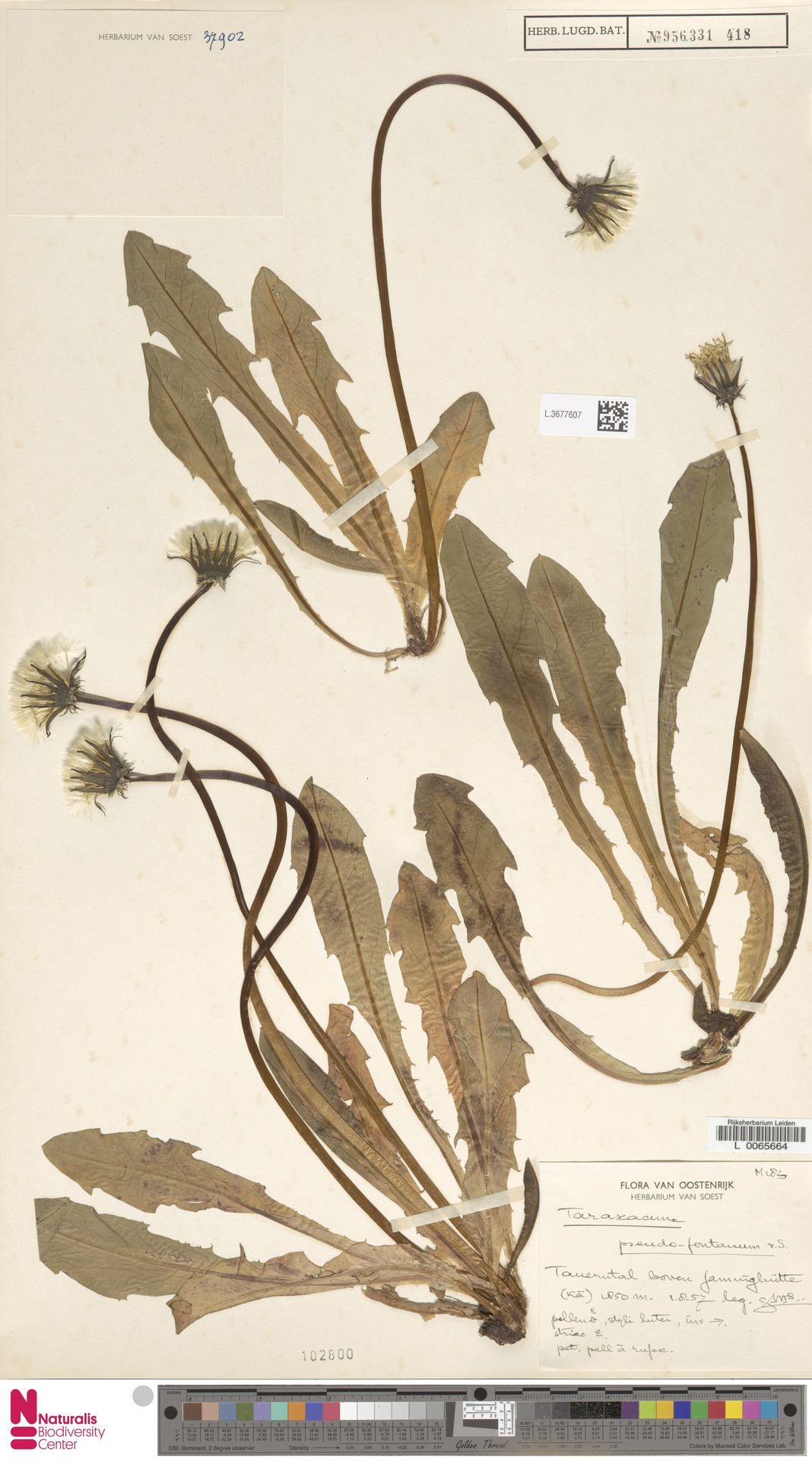 L.3677607 | Taraxacum pseudofontanum Soest