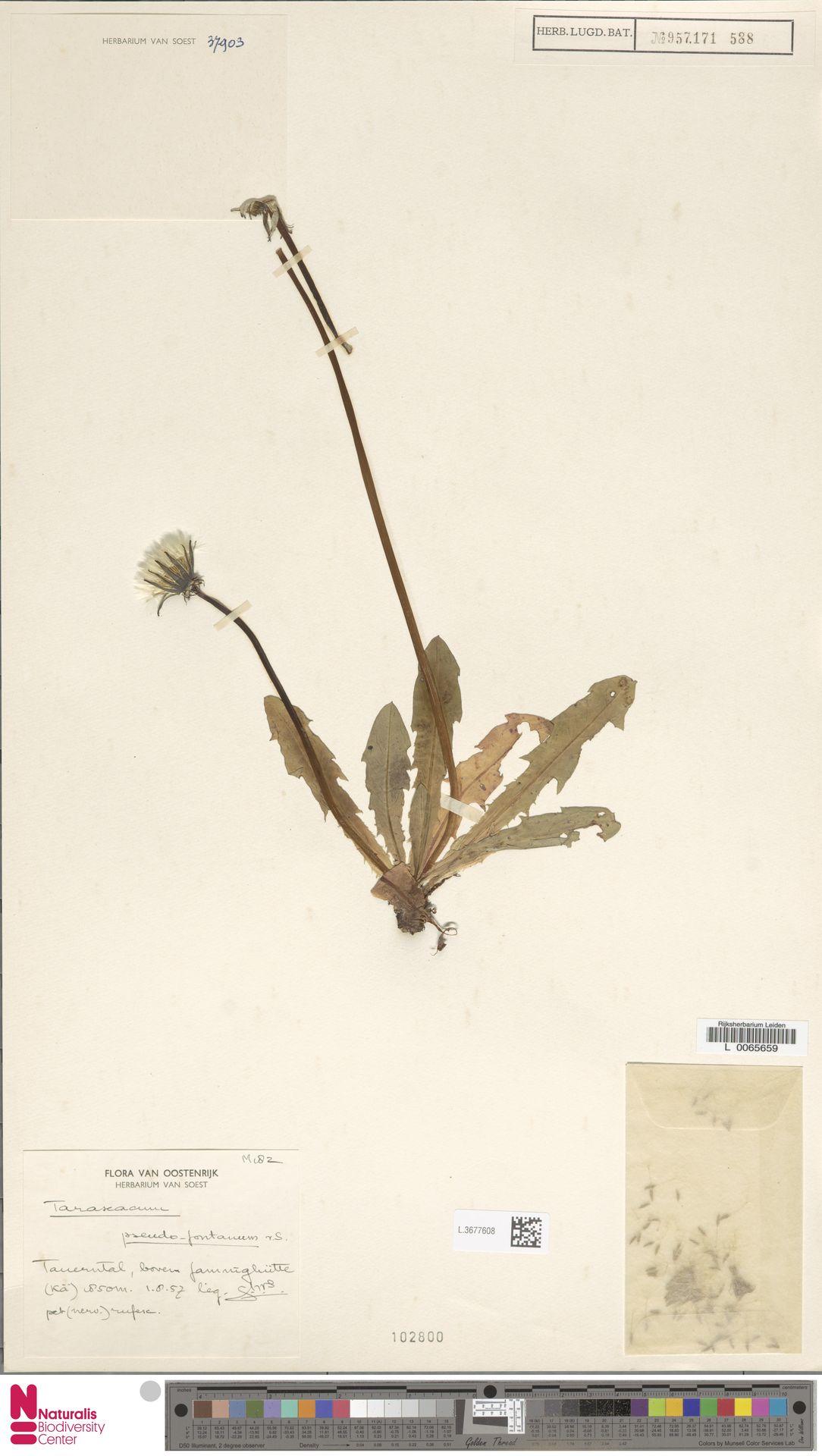 L.3677608 | Taraxacum pseudofontanum Soest