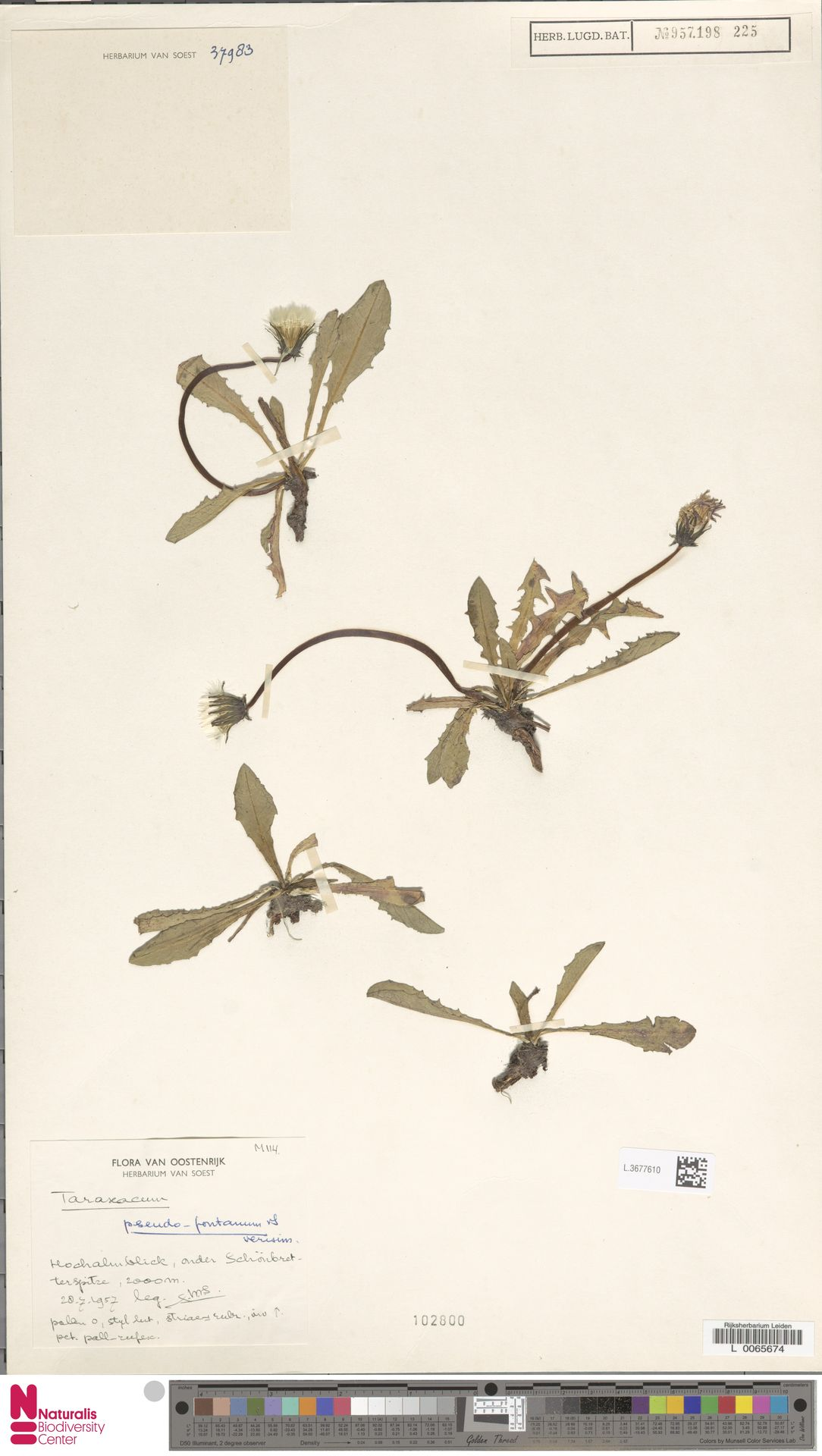 L.3677610   Taraxacum pseudofontanum Soest
