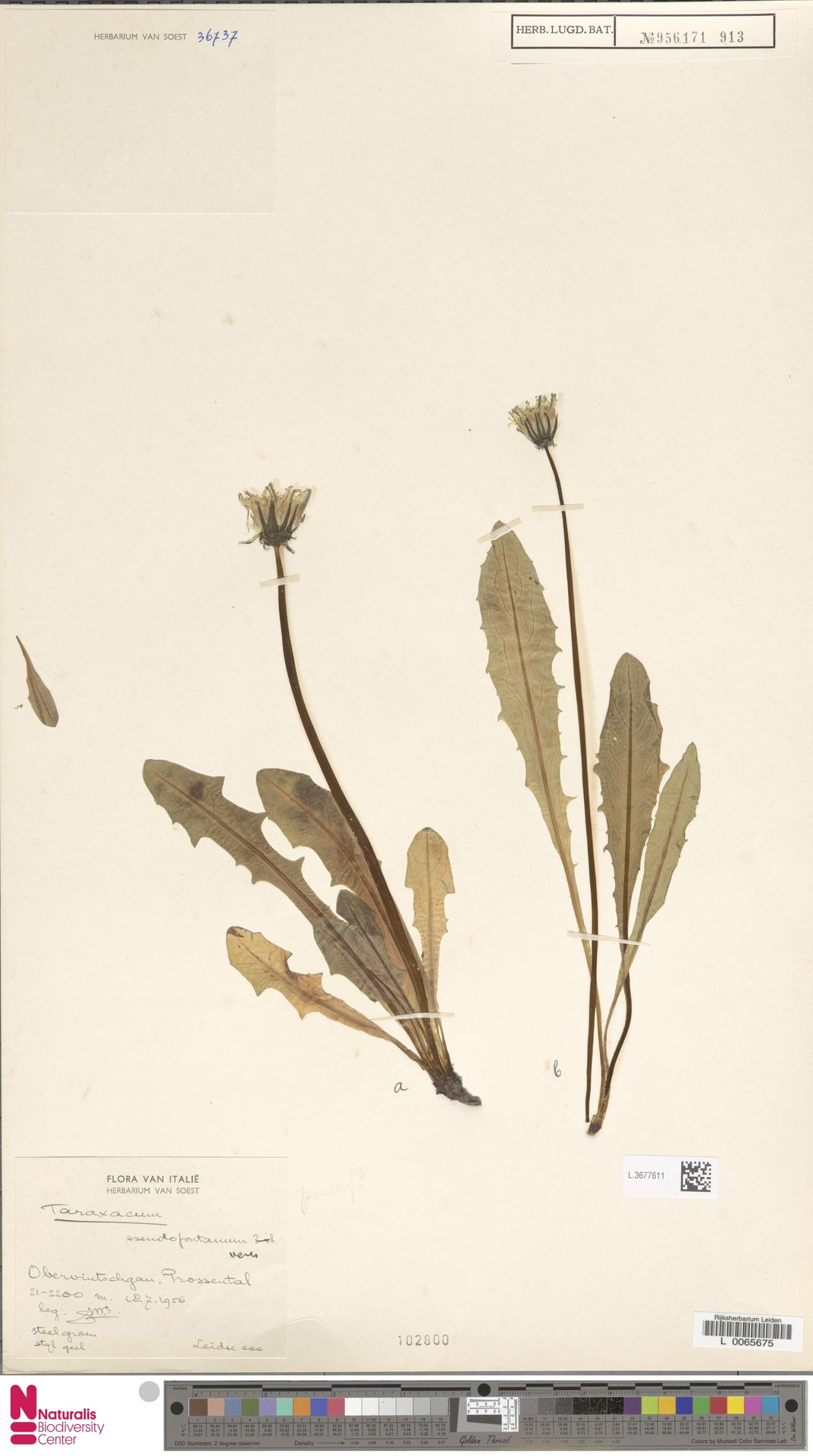 L.3677611 | Taraxacum pseudofontanum Soest