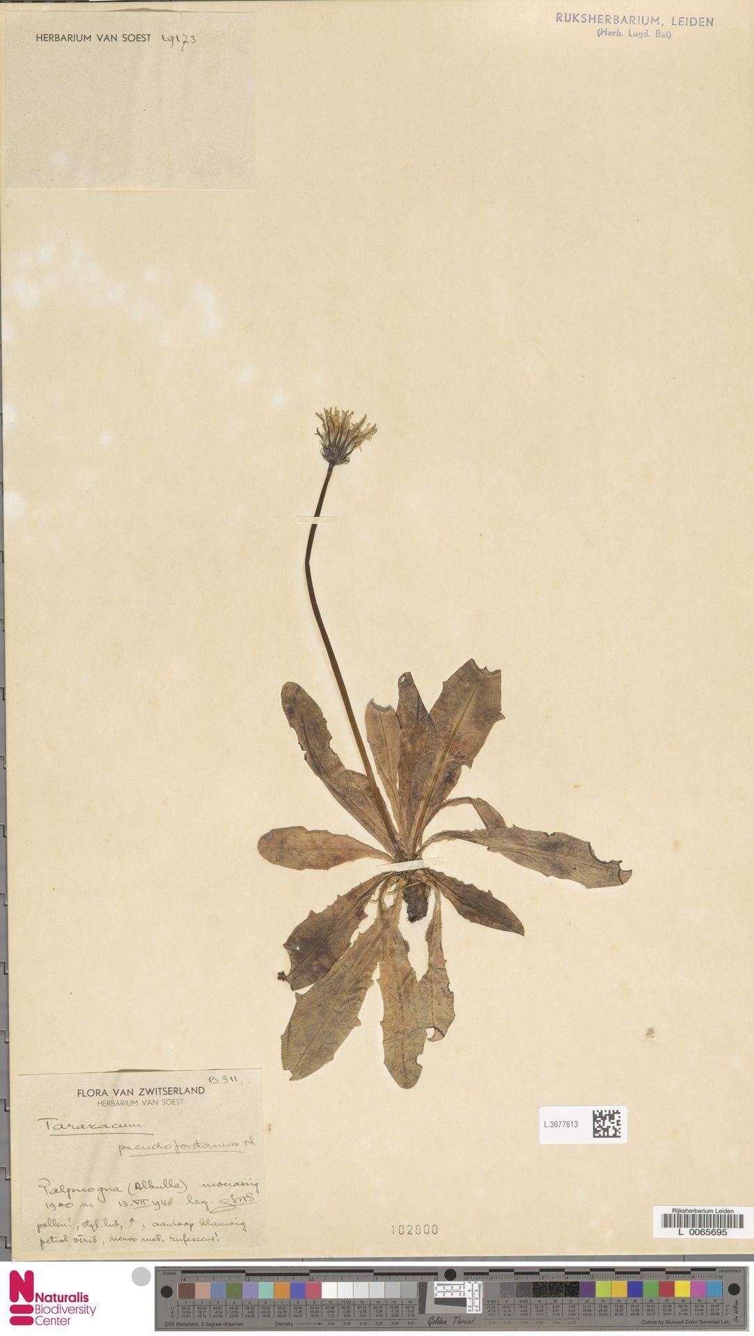 L.3677613   Taraxacum pseudofontanum Soest