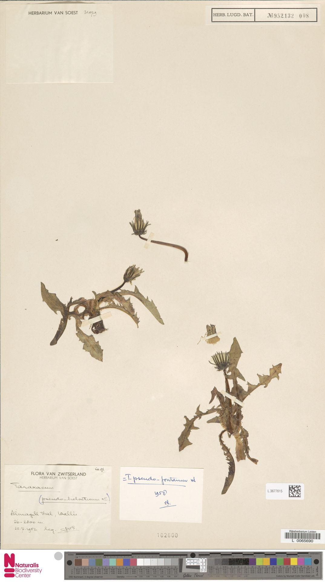 L.3677615 | Taraxacum pseudofontanum Soest