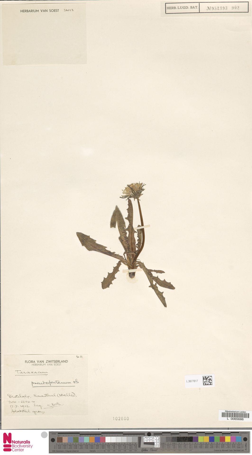 L.3677617 | Taraxacum pseudofontanum Soest