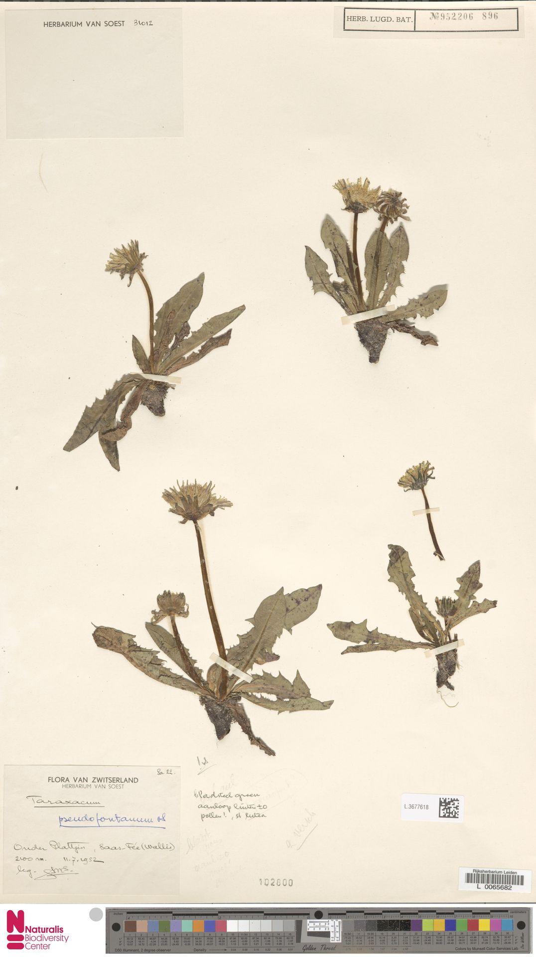 L.3677618   Taraxacum pseudofontanum Soest