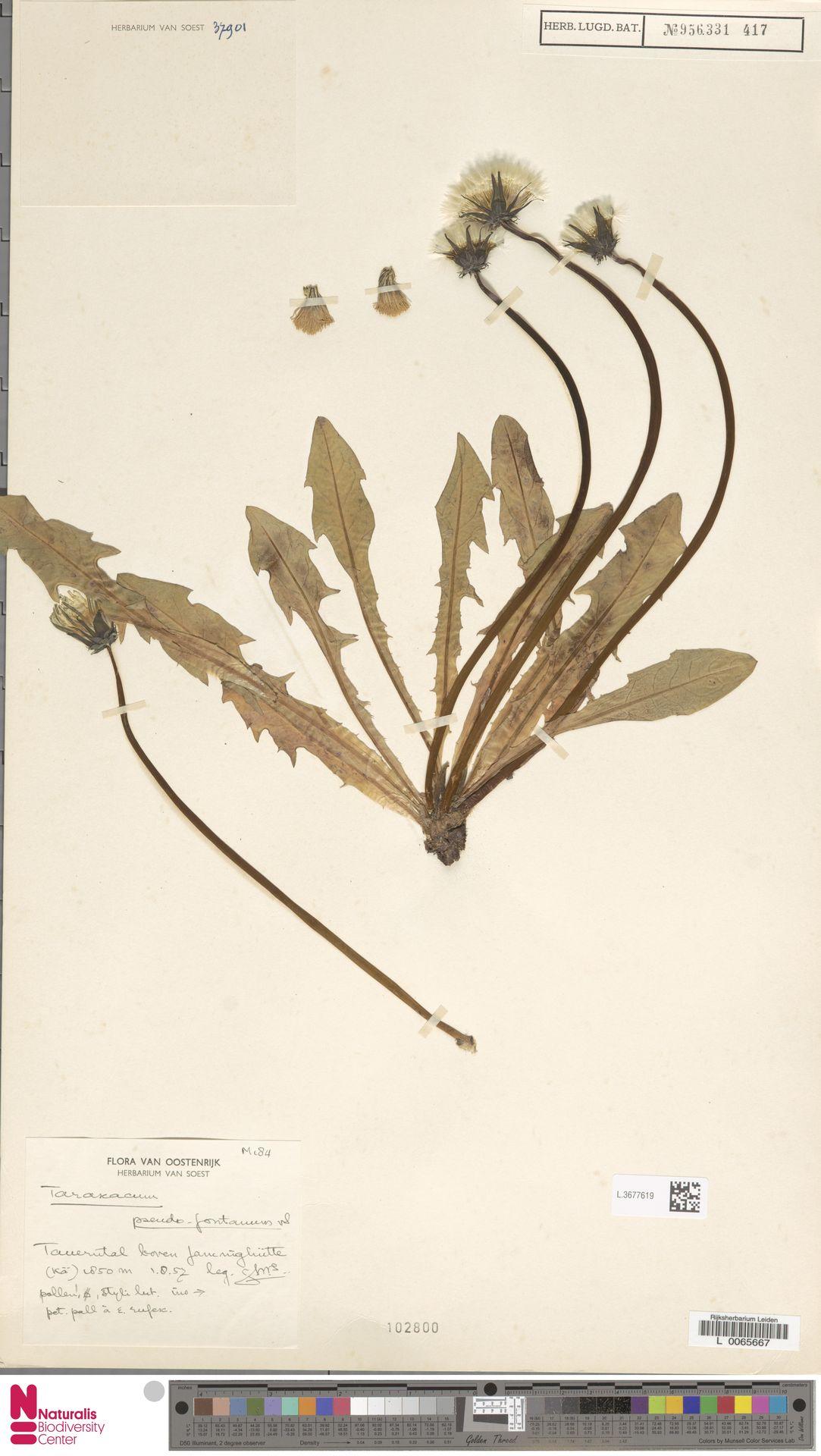 L.3677619 | Taraxacum pseudofontanum Soest