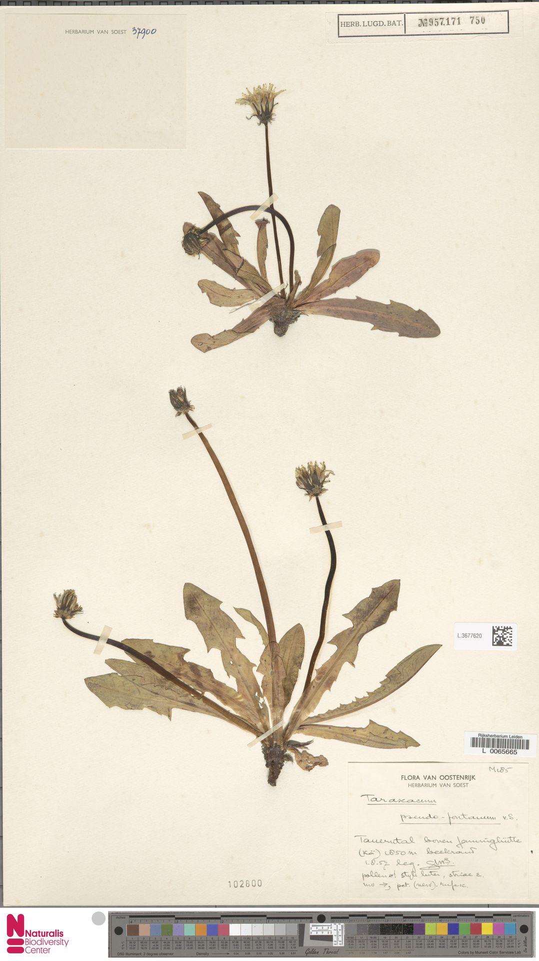 L.3677620 | Taraxacum pseudofontanum Soest