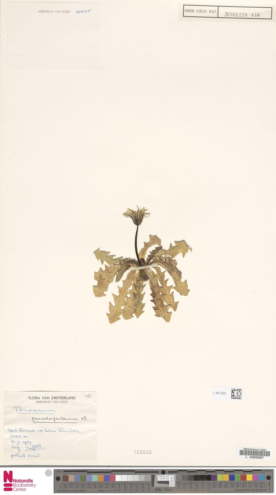 L.3677625   Taraxacum pseudofontanum Soest