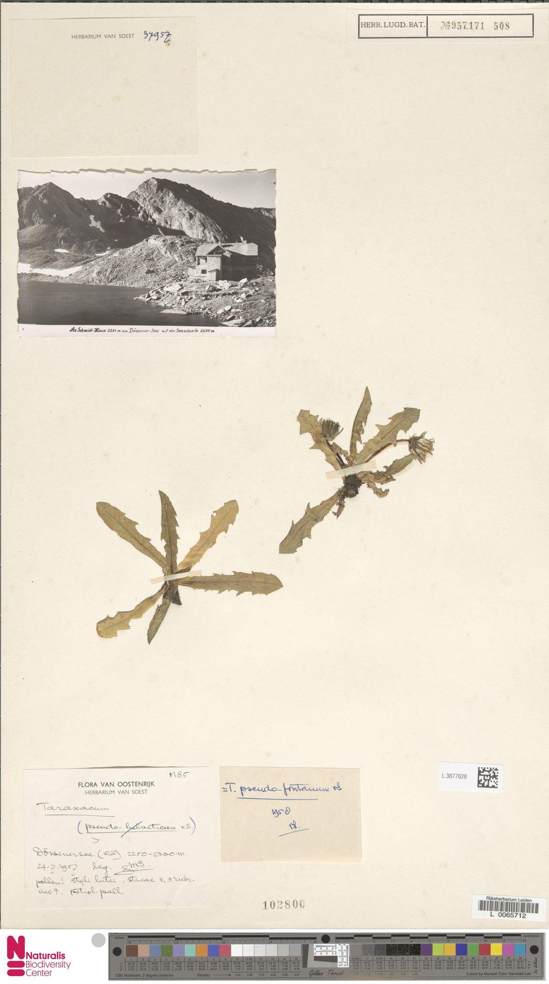 L.3677628   Taraxacum pseudofontanum Soest
