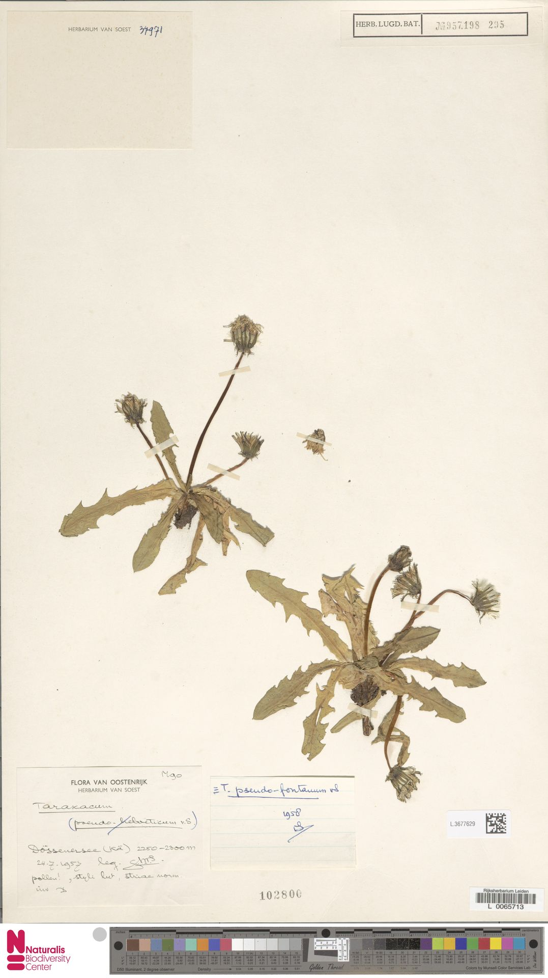 L.3677629 | Taraxacum pseudofontanum Soest