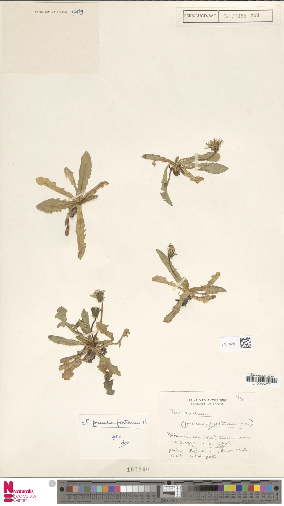 L.3677630   Taraxacum pseudofontanum Soest