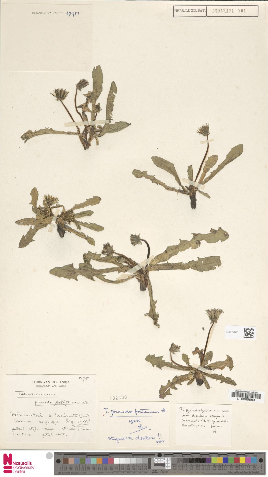 L.3677631   Taraxacum pseudofontanum Soest