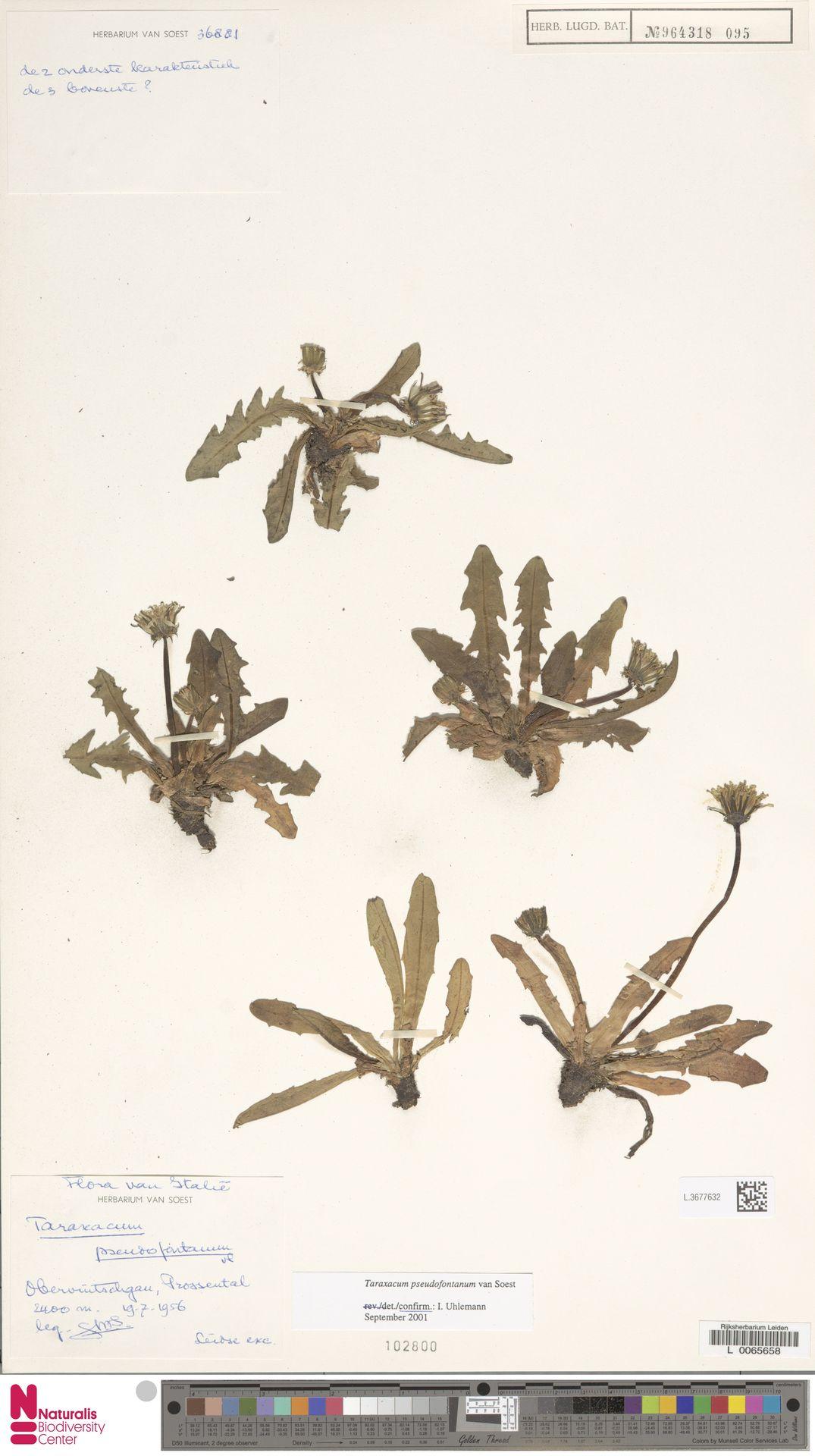 L.3677632   Taraxacum pseudofontanum Soest