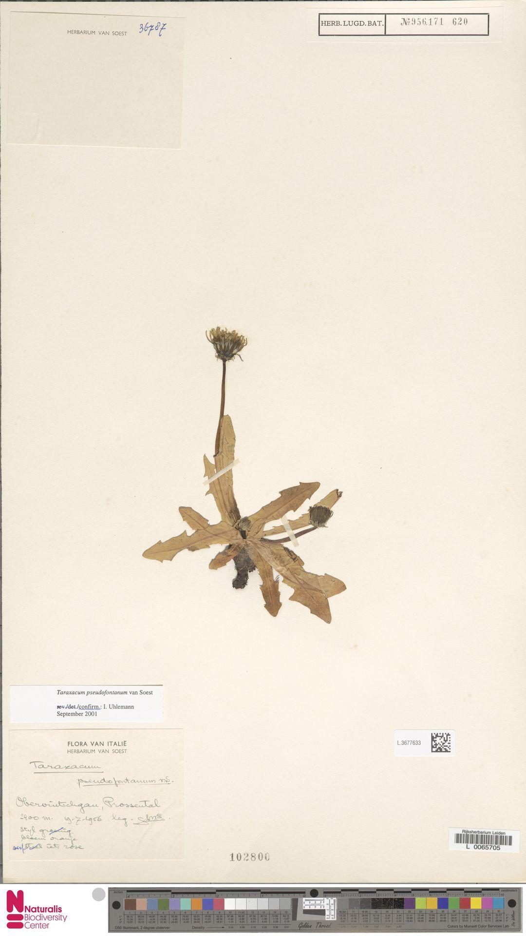 L.3677633 | Taraxacum pseudofontanum Soest