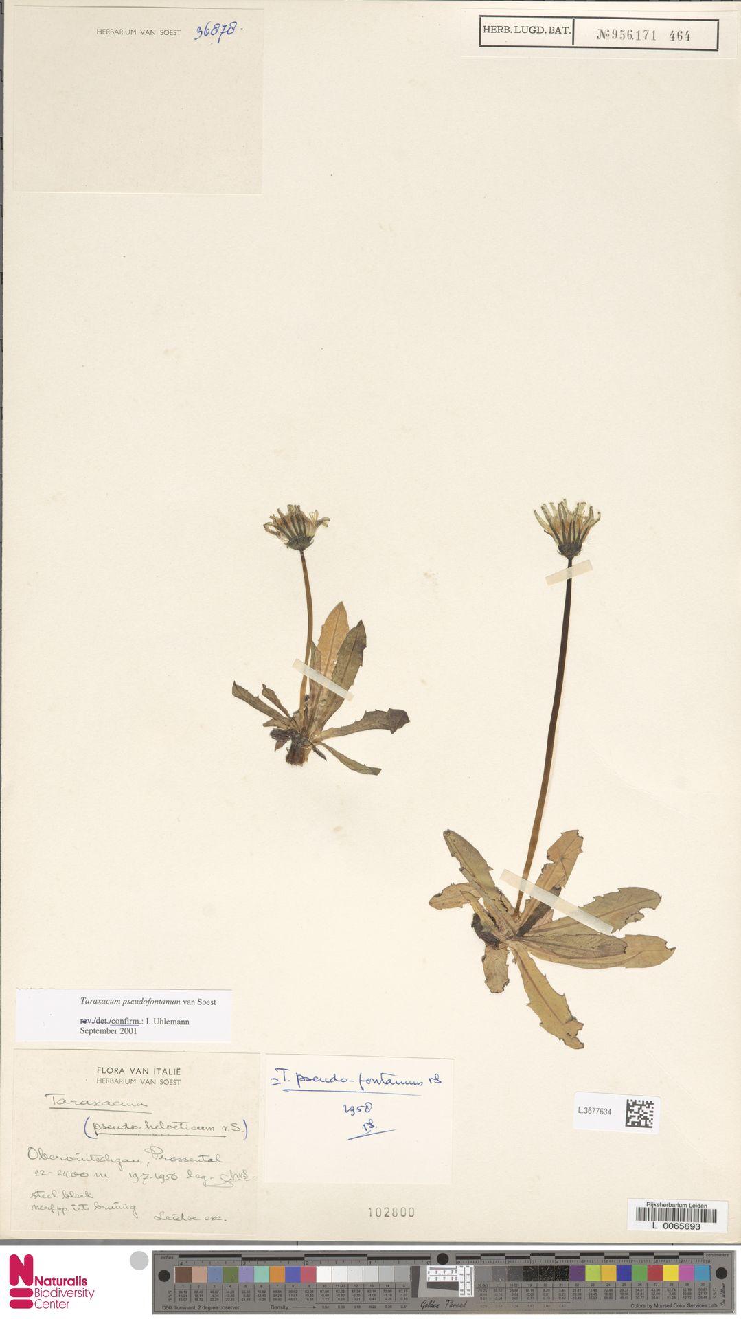L.3677634 | Taraxacum pseudofontanum Soest