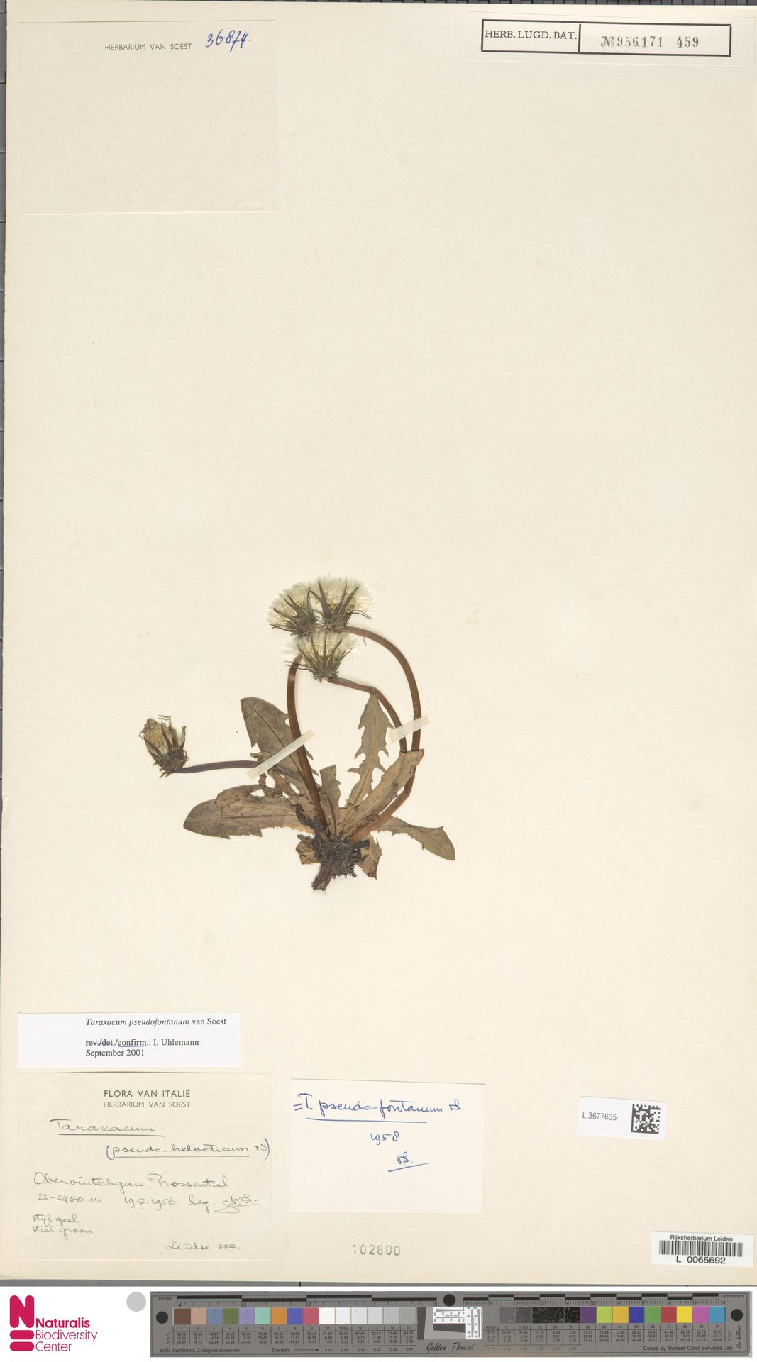 L.3677635   Taraxacum pseudofontanum Soest