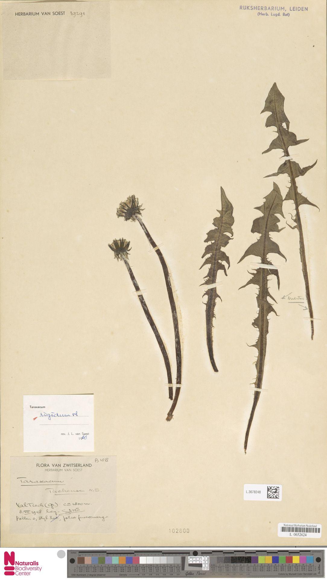 L.3678248 | Taraxacum rigidum Soest