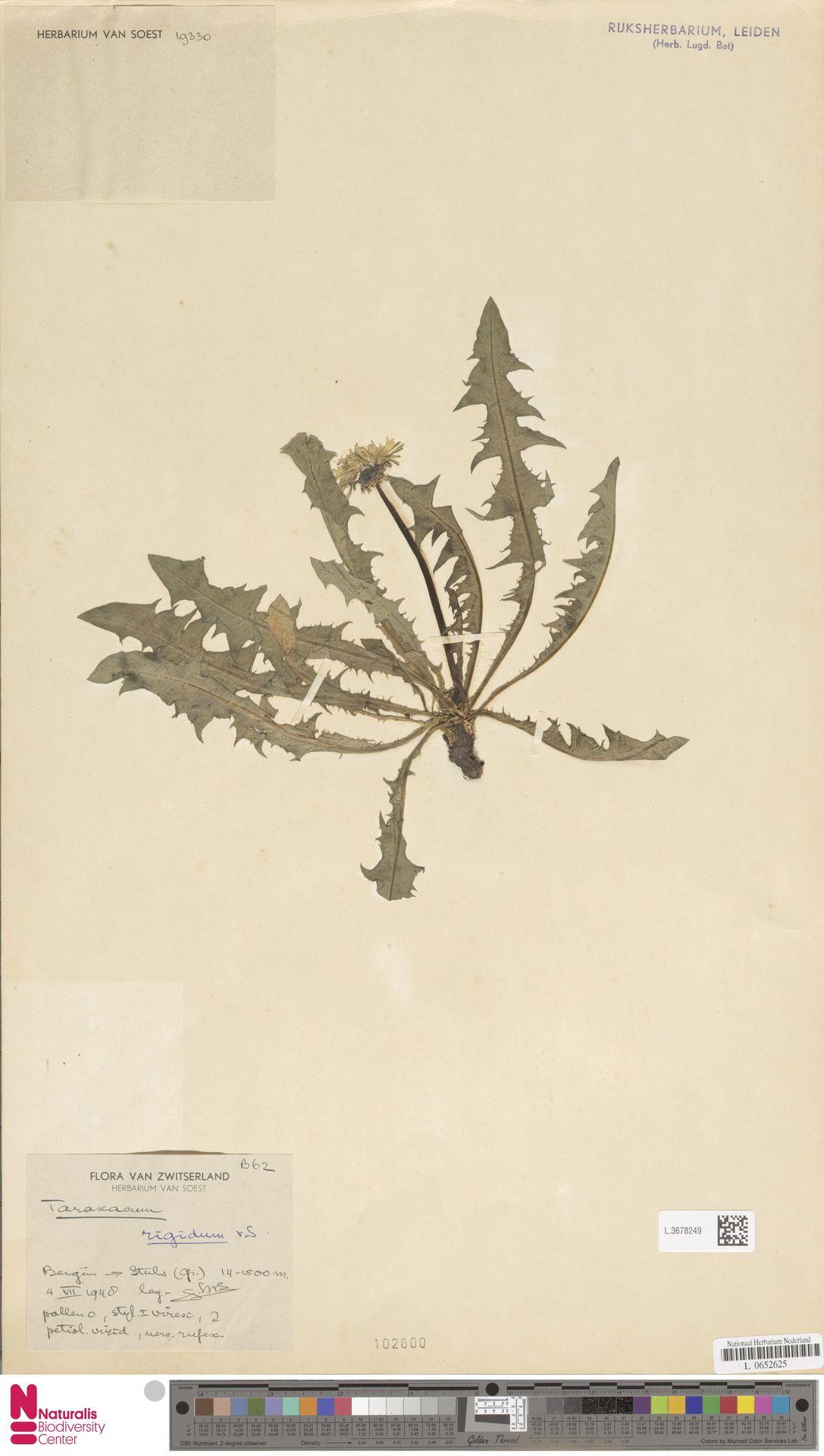 L.3678249 | Taraxacum rigidum Soest