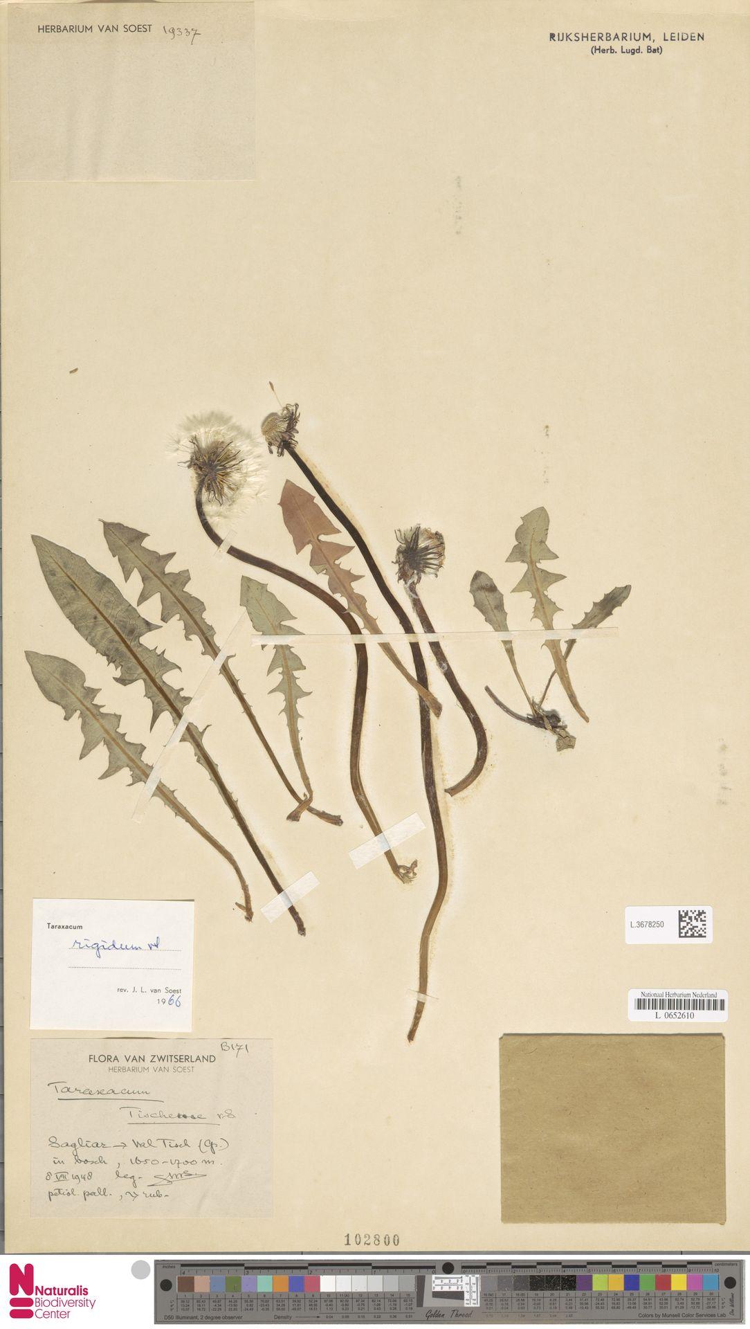 L.3678250   Taraxacum rigidum Soest
