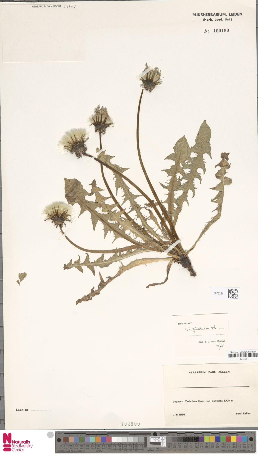 L.3678251 | Taraxacum rigidum Soest