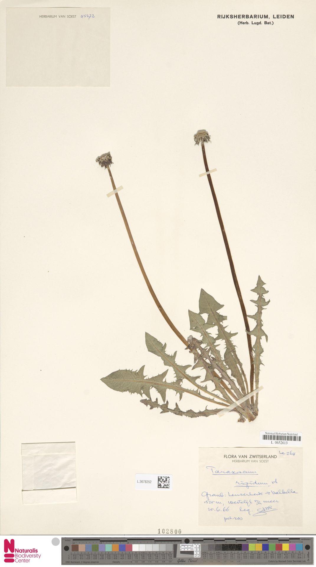 L.3678252 | Taraxacum rigidum Soest