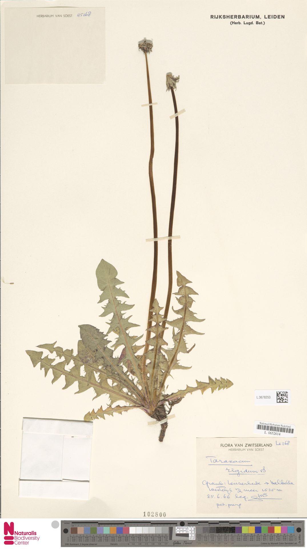 L.3678253 | Taraxacum rigidum Soest
