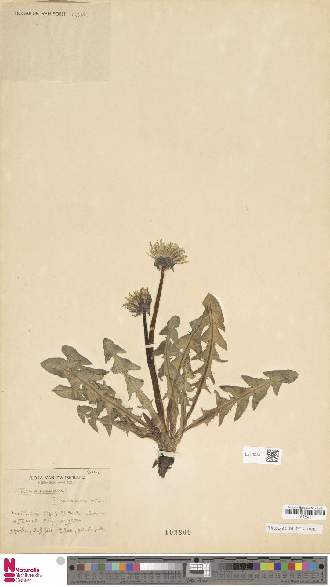 L.3678254 | Taraxacum rigidum Soest