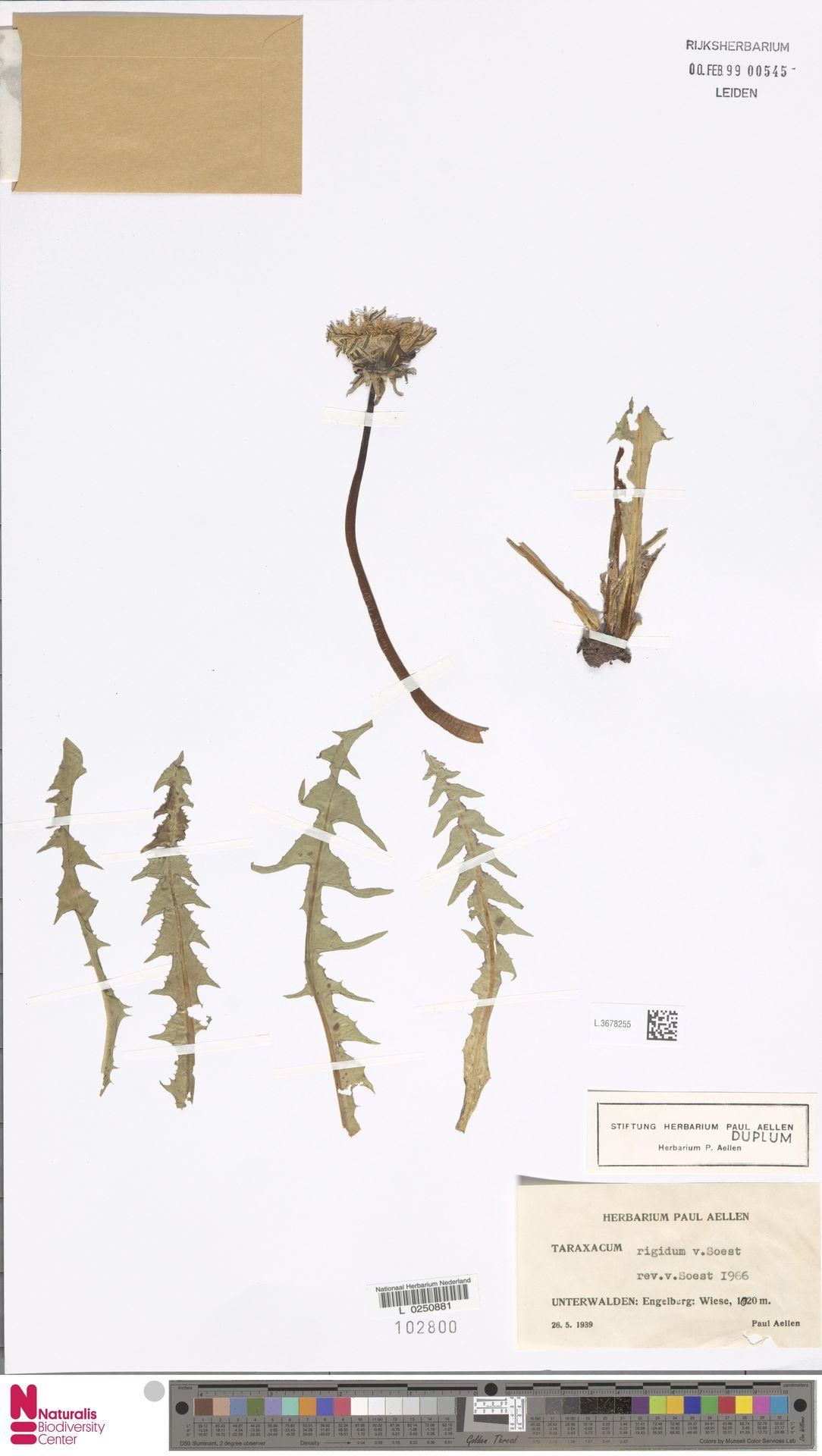 L.3678255 | Taraxacum rigidum Soest