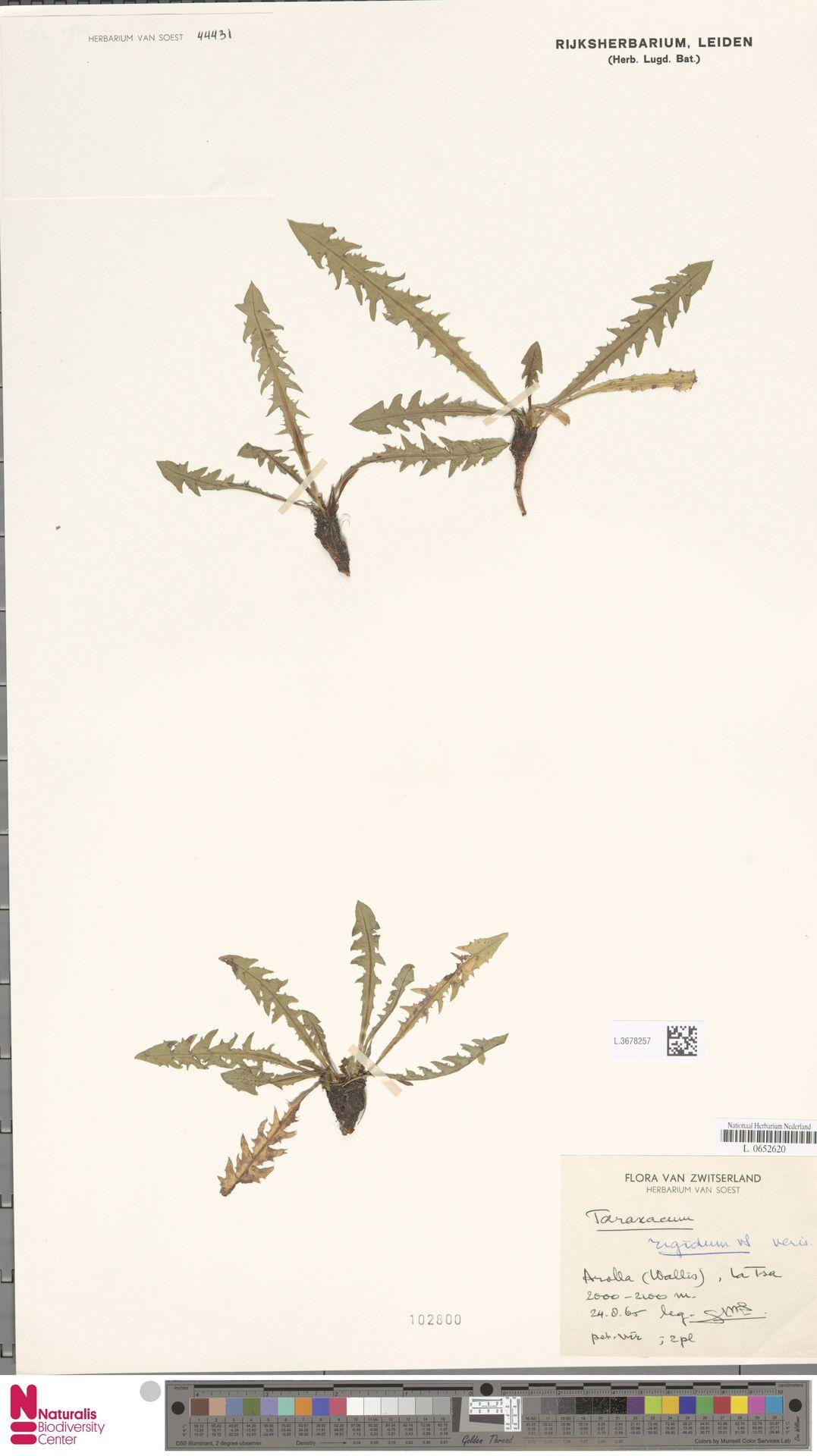 L.3678257 | Taraxacum rigidum Soest