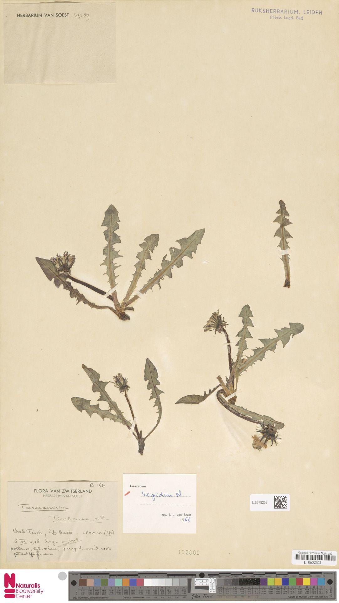 L.3678258 | Taraxacum rigidum Soest
