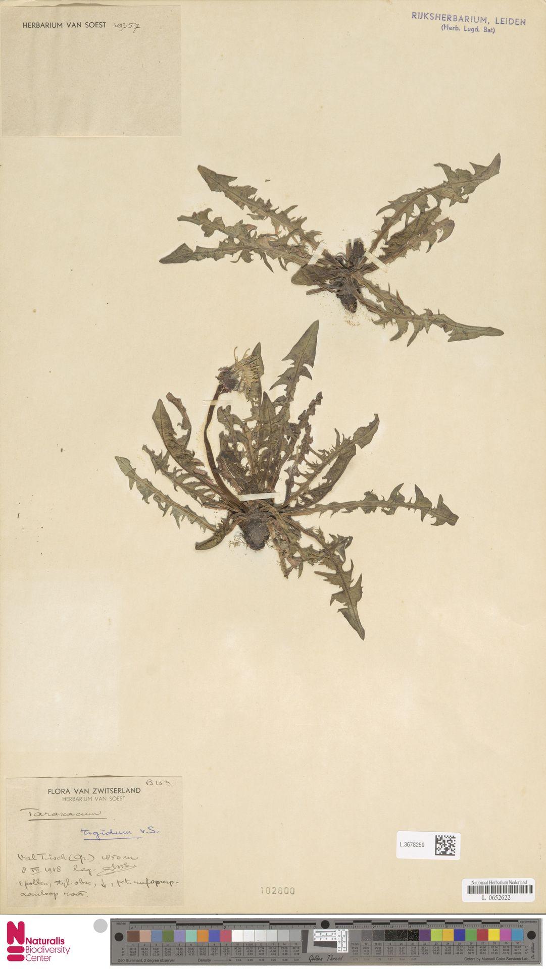 L.3678259   Taraxacum rigidum Soest