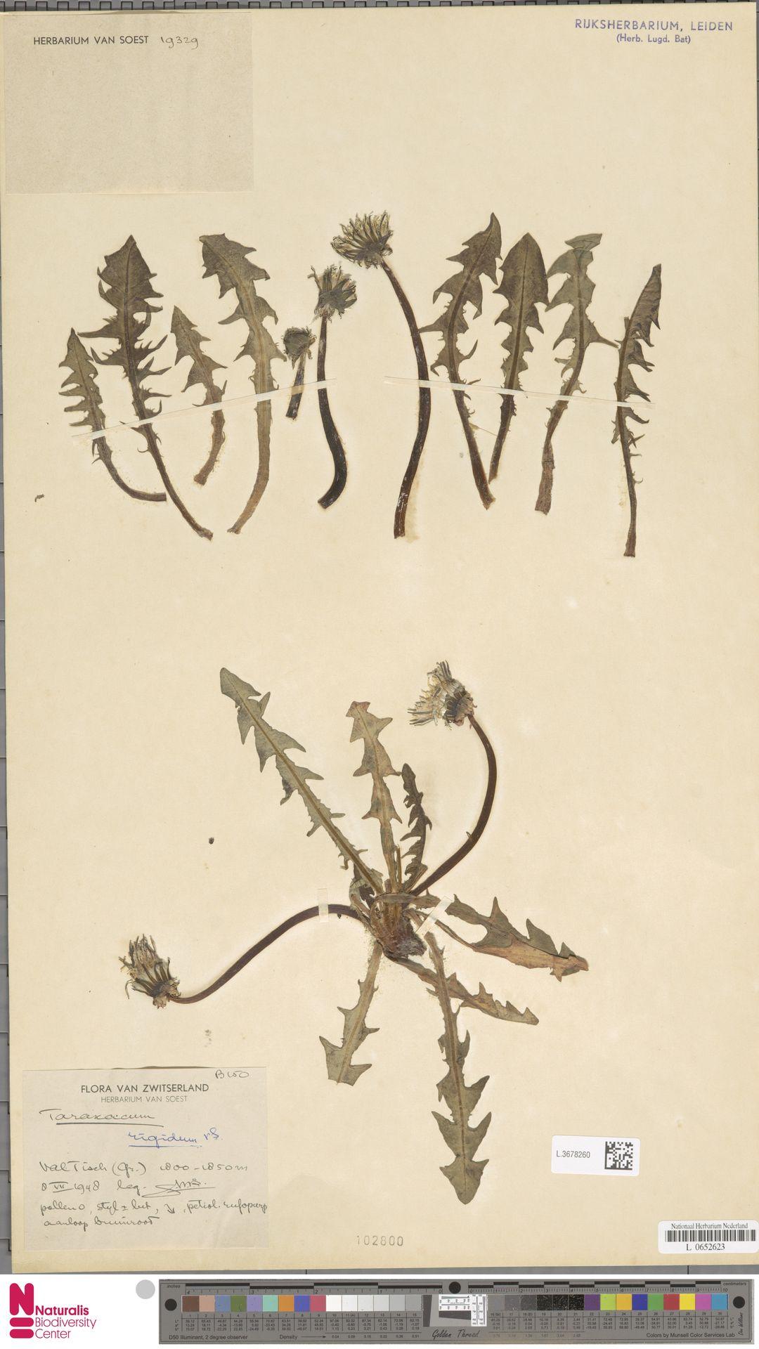 L.3678260 | Taraxacum rigidum Soest