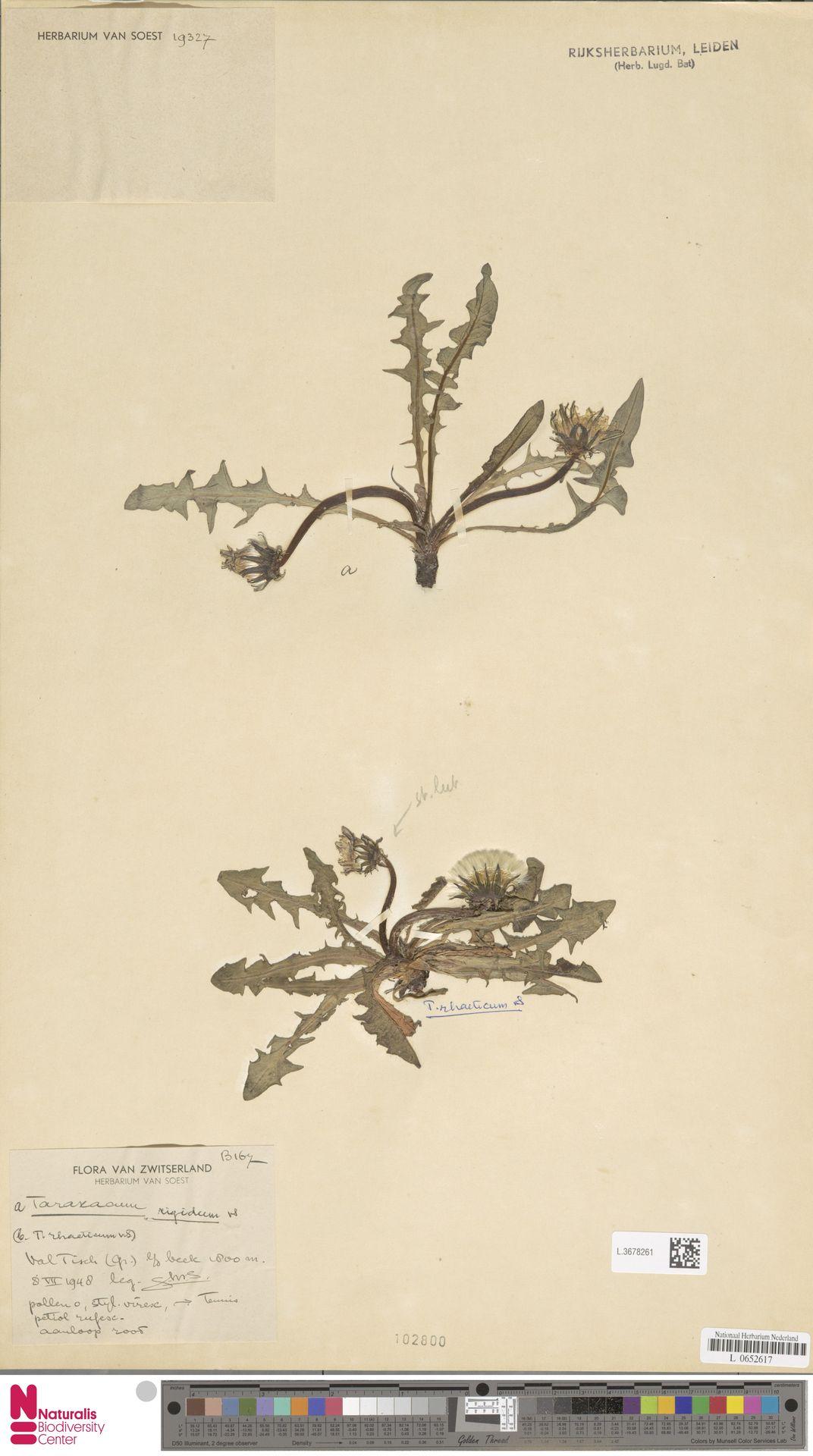L.3678261   Taraxacum rigidum Soest