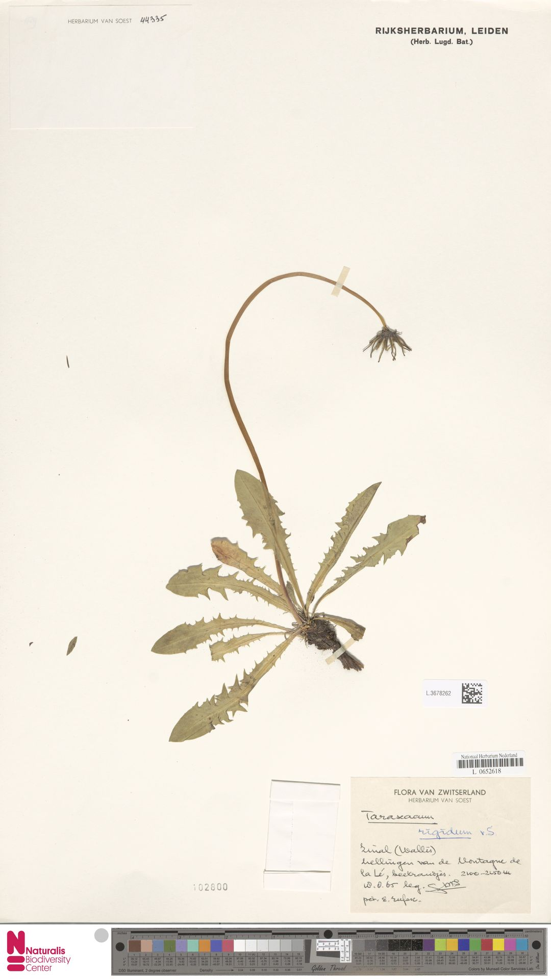 L.3678262   Taraxacum rigidum Soest