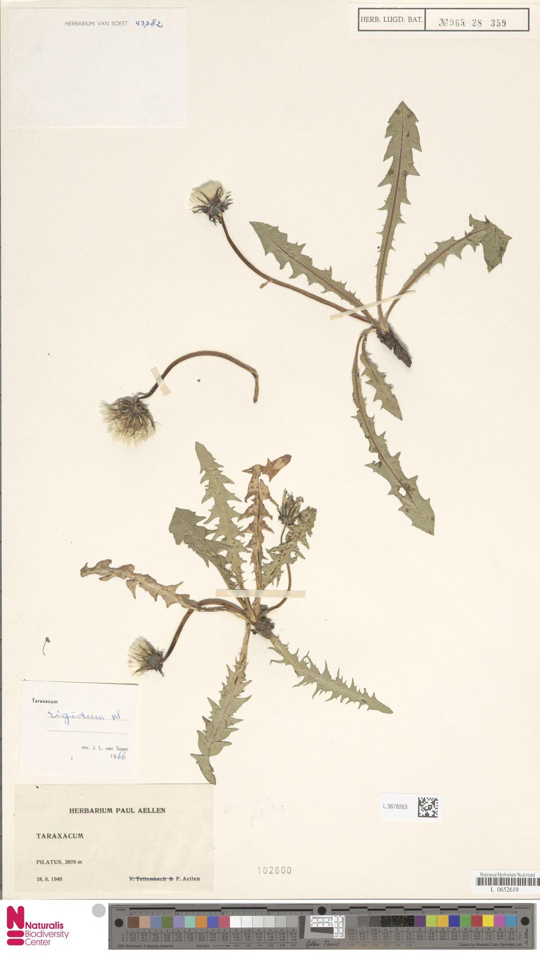 L.3678263 | Taraxacum rigidum Soest