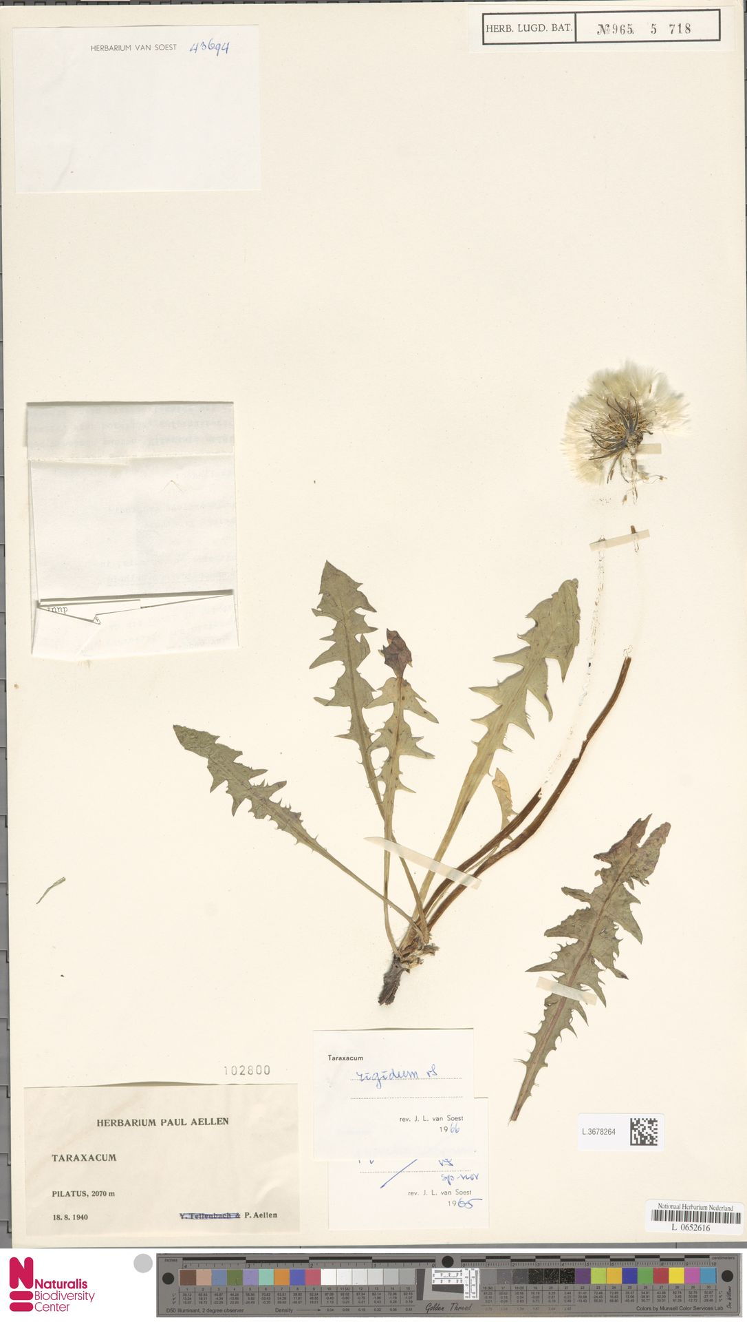 L.3678264 | Taraxacum rigidum Soest