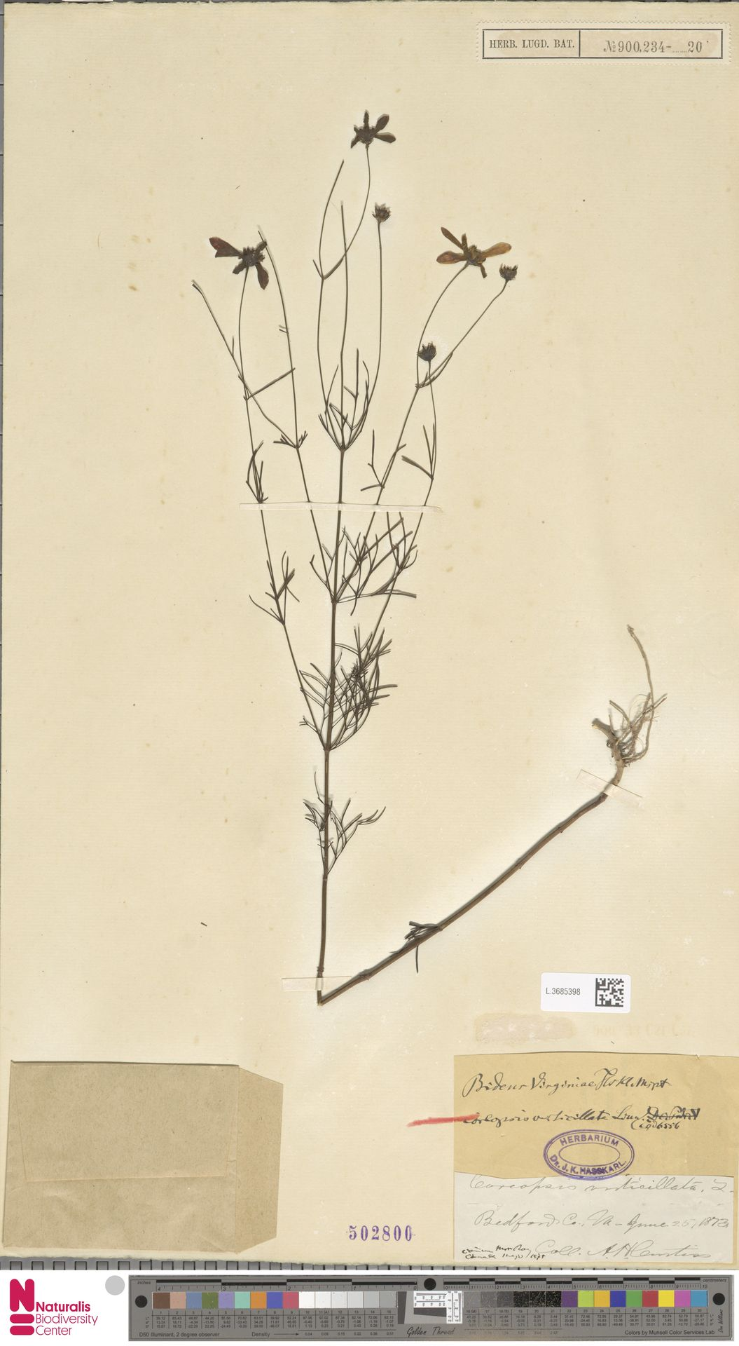 L.3685398   Coreopsis verticillata L.