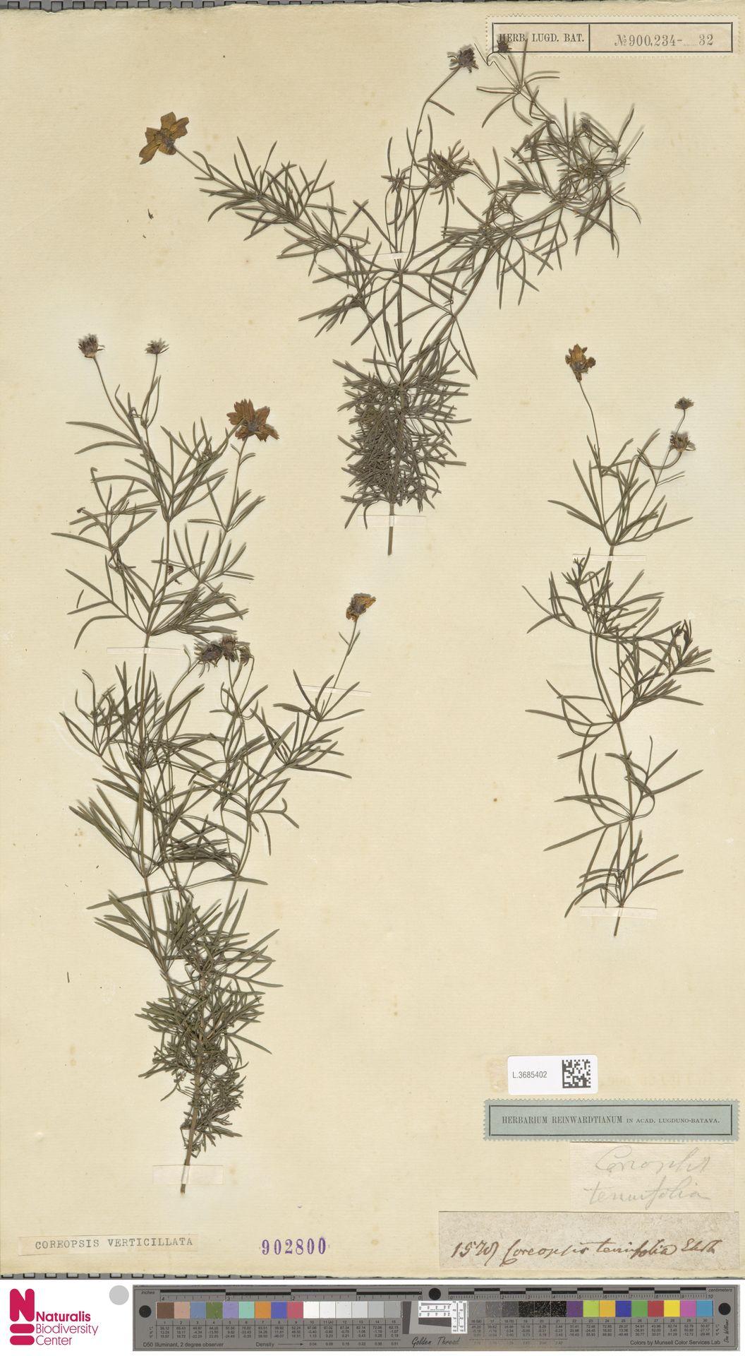 L.3685402 | Coreopsis verticillata L.
