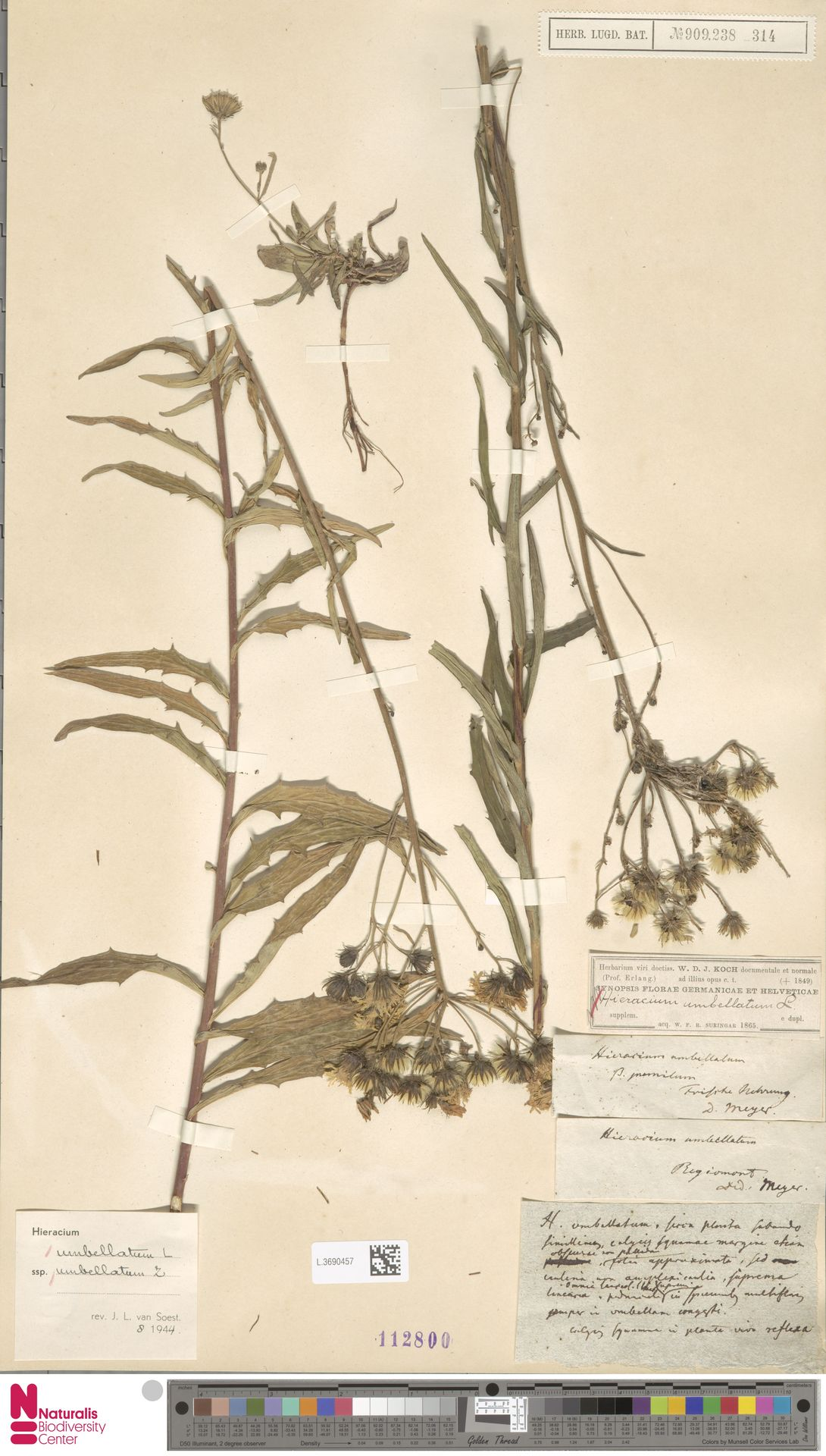 L.3690457 | Hieracium umbellatum subsp. umbellatum Zahn