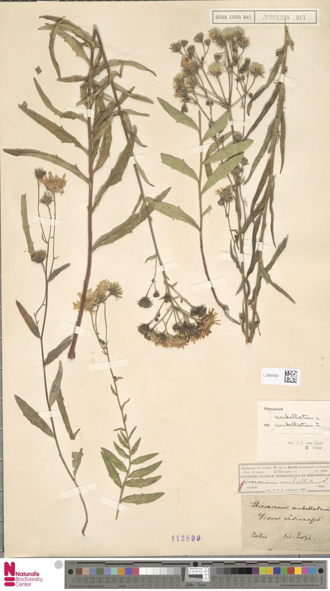 L.3690459 | Hieracium umbellatum subsp. umbellatum Zahn