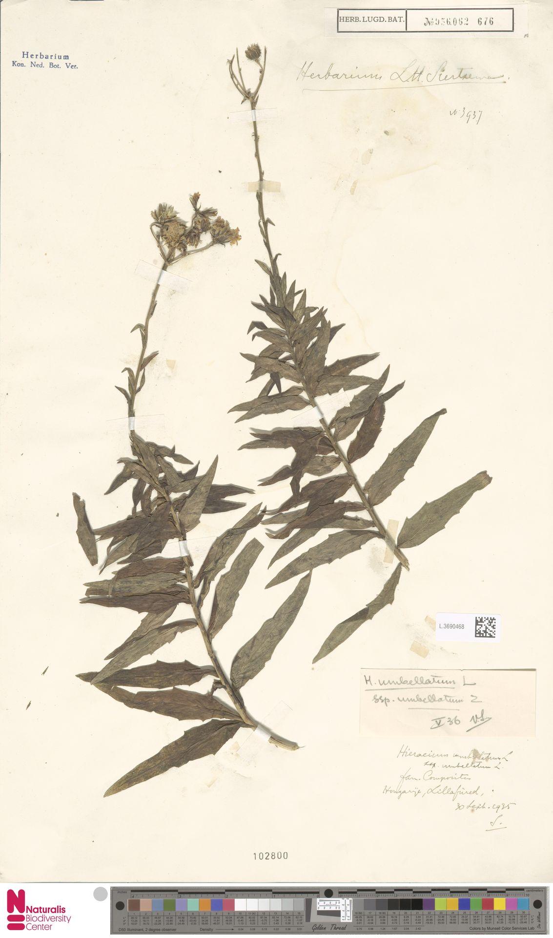 L.3690468 | Hieracium umbellatum subsp. umbellatum Zahn