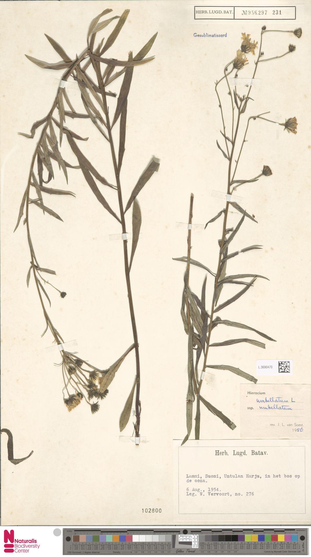 L.3690470 | Hieracium umbellatum subsp. umbellatum Zahn