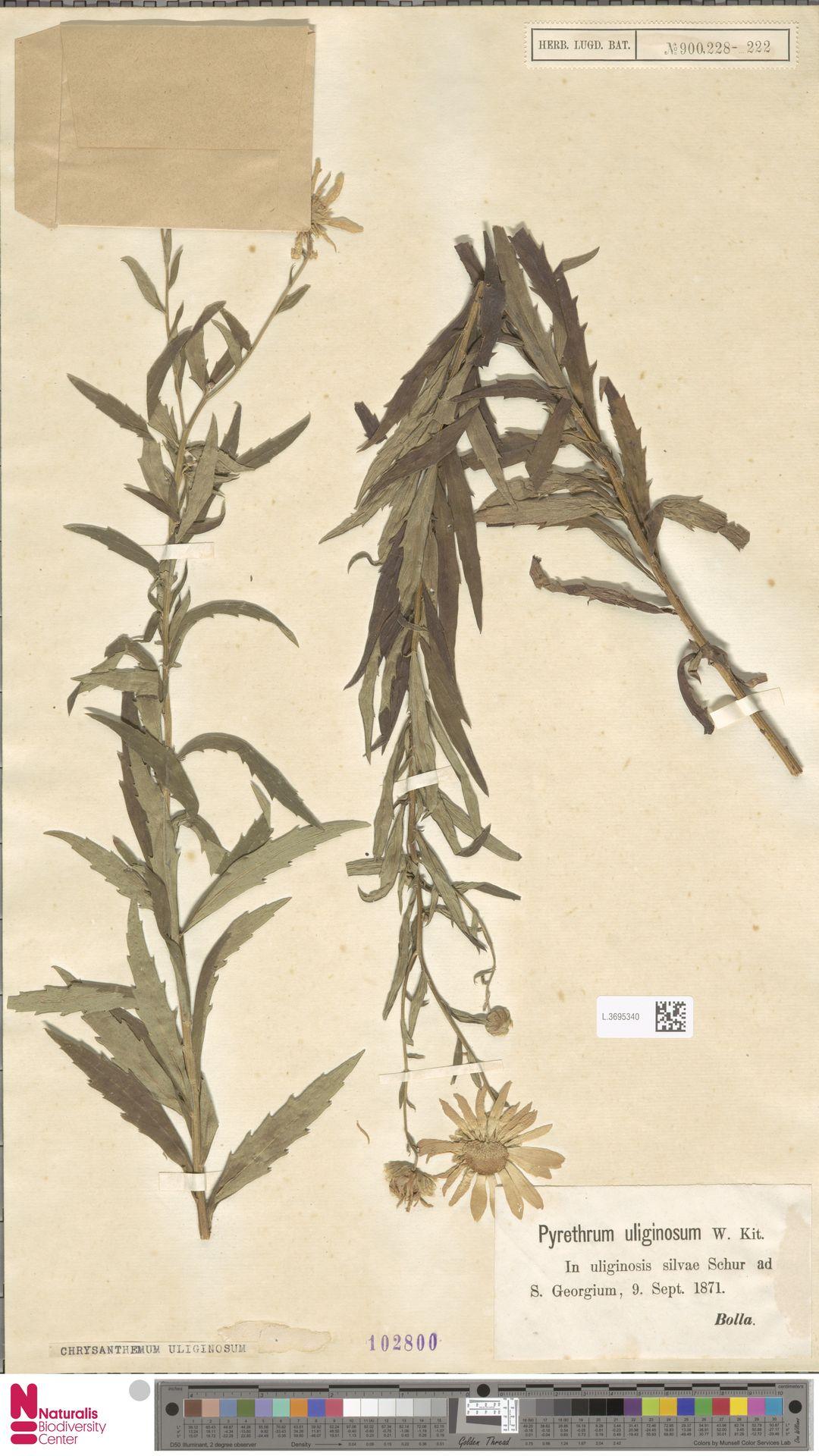 L.3695340 | Chrysanthemum uliginosum Pers.