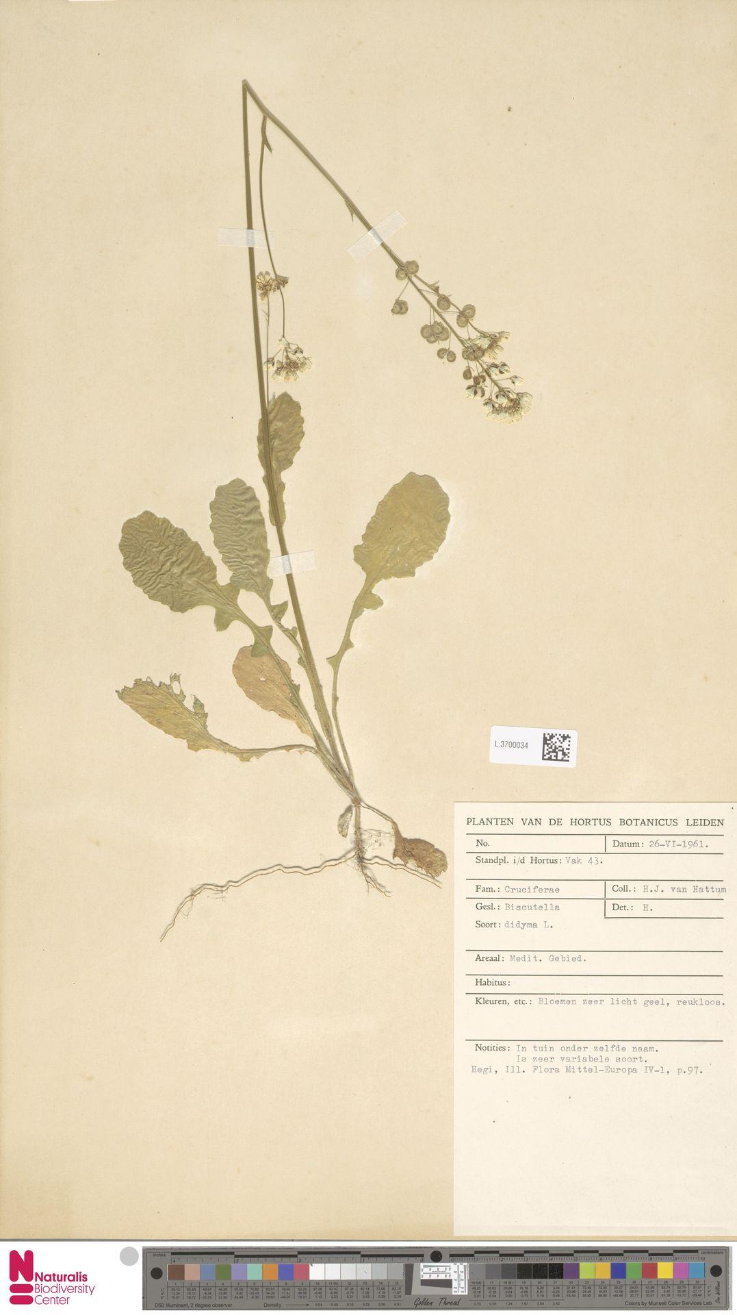 L.3700034 | Biscutella didyma L.