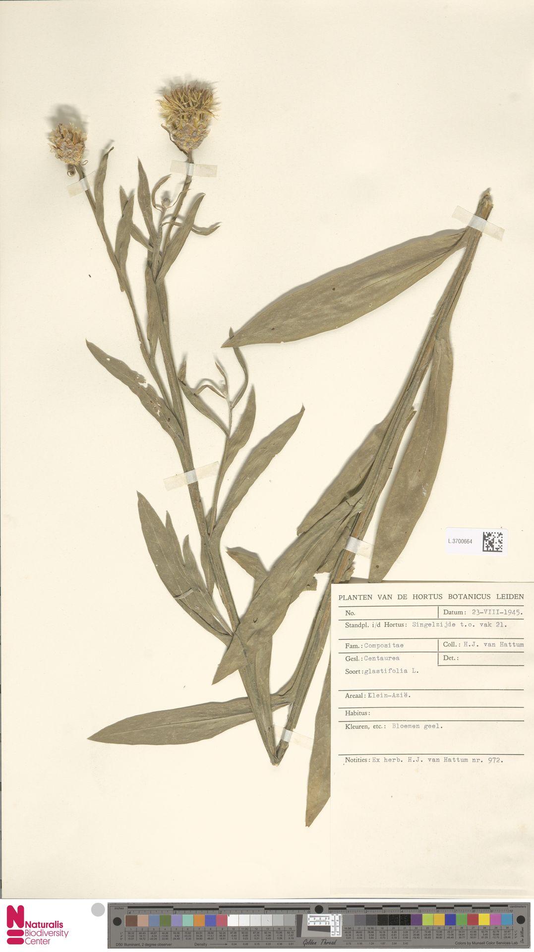 L.3700664 | Centaurea glastifolia L.
