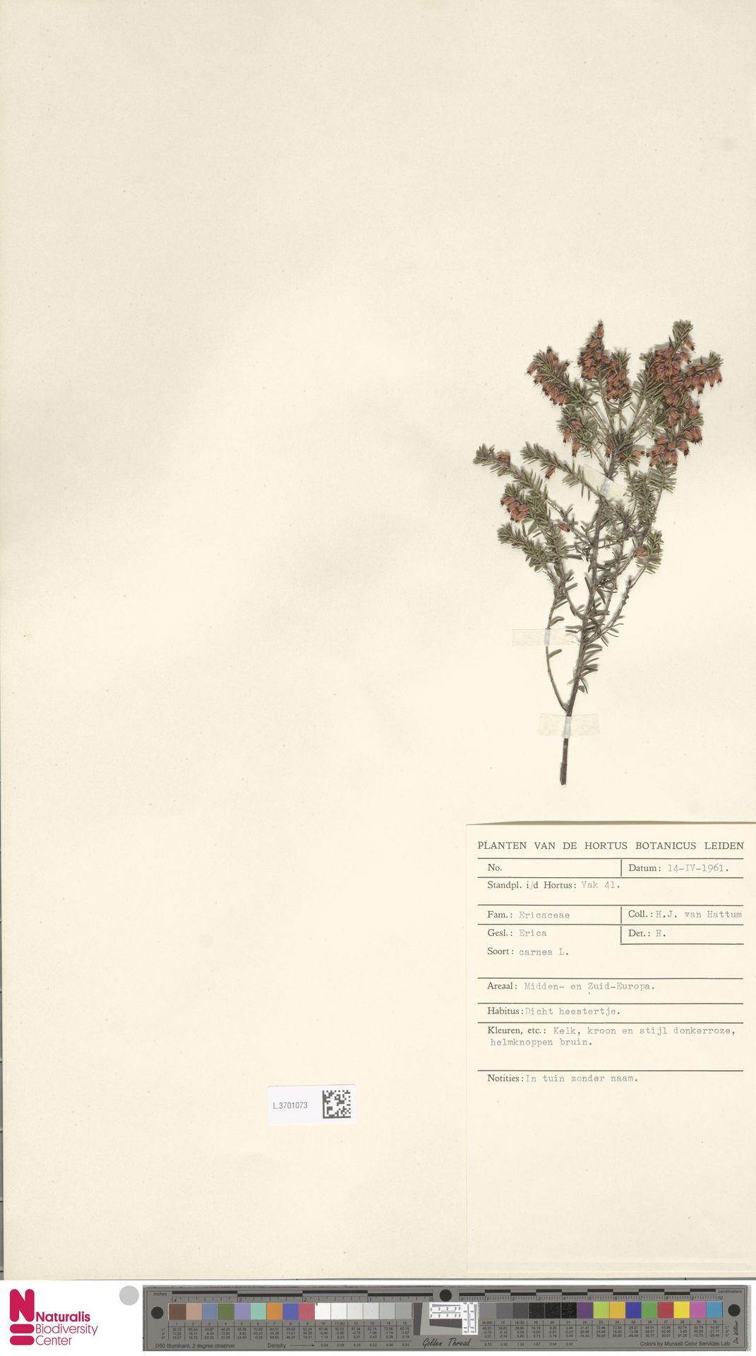 L.3701073   Erica carnea L.