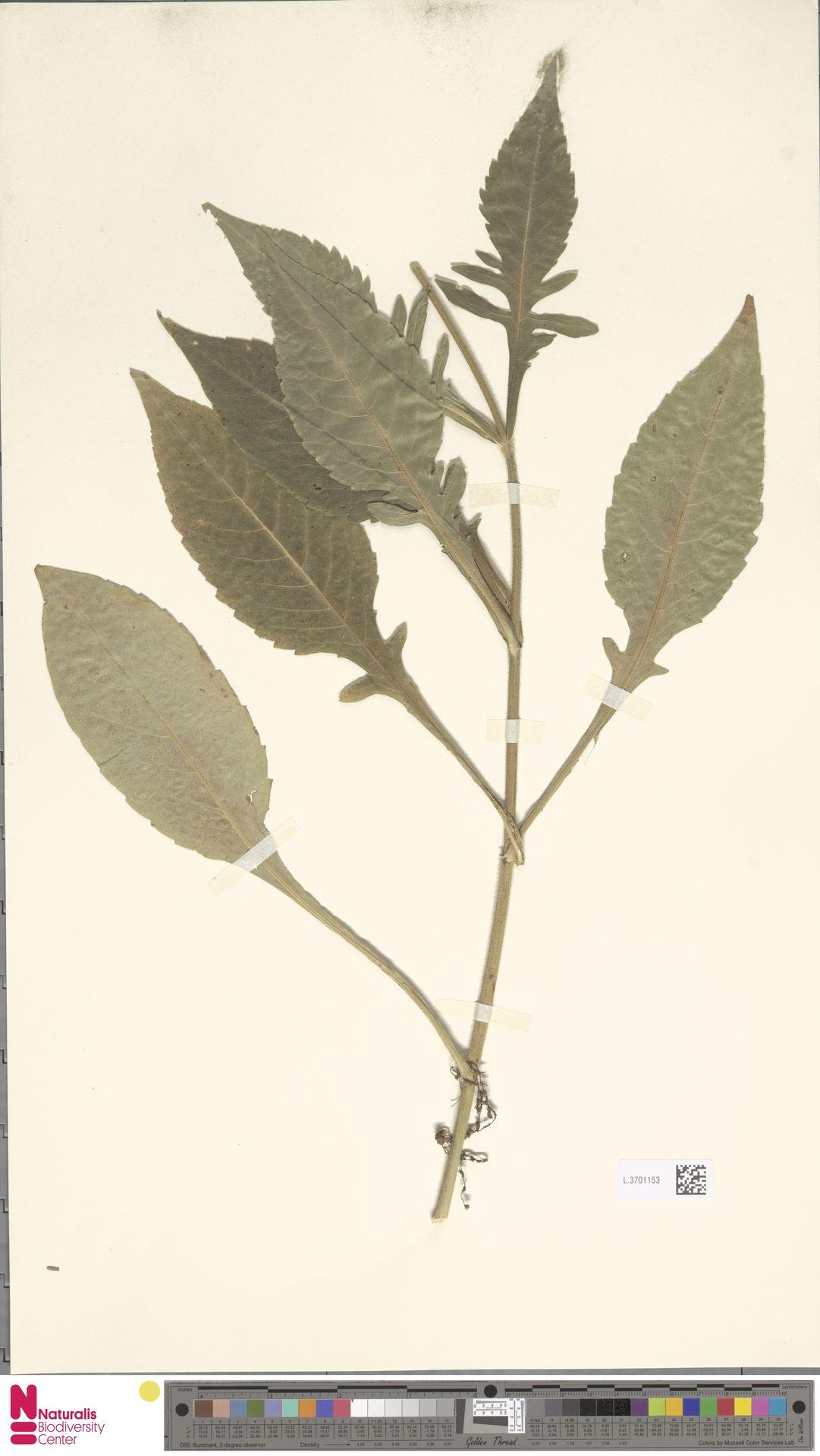L.3701153   Knautia arvensis (L.) Coult.