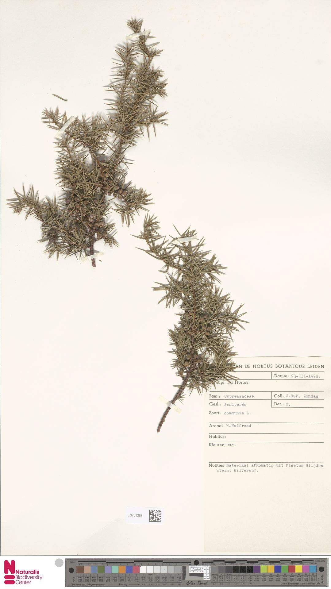L.3701368 | Juniperus communis L.